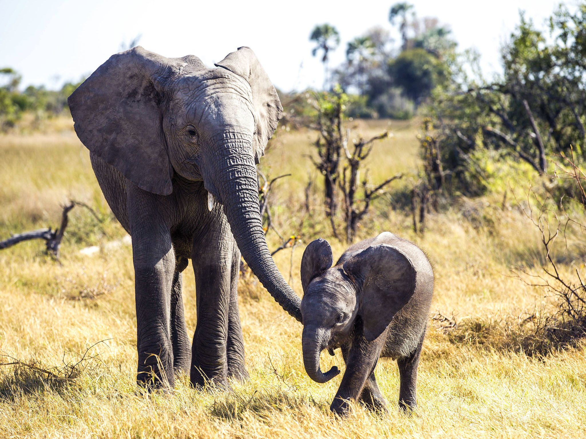 A baby elephant's brain is roughly one third the size of an adult's, and they depend on family... [Photo of the day - August 2016]