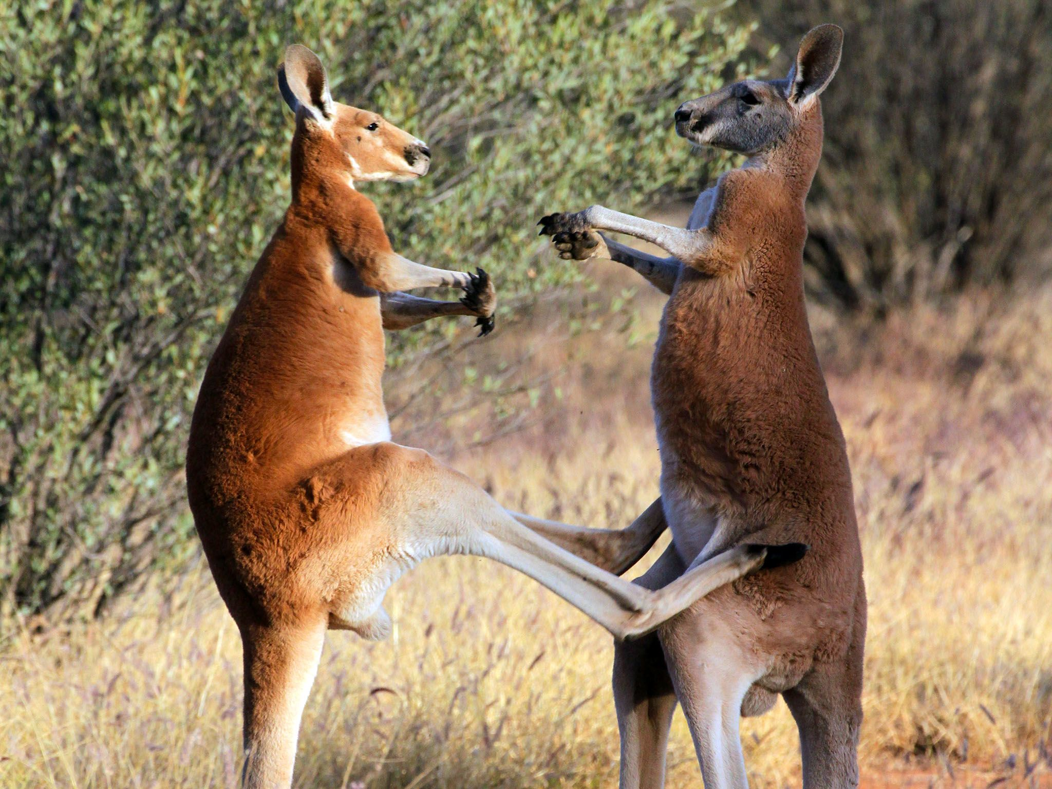 Australia: Male red kangaroos (Macropus rufus) fighting. Male reproductive success can be linked... [Photo of the day - August 2016]