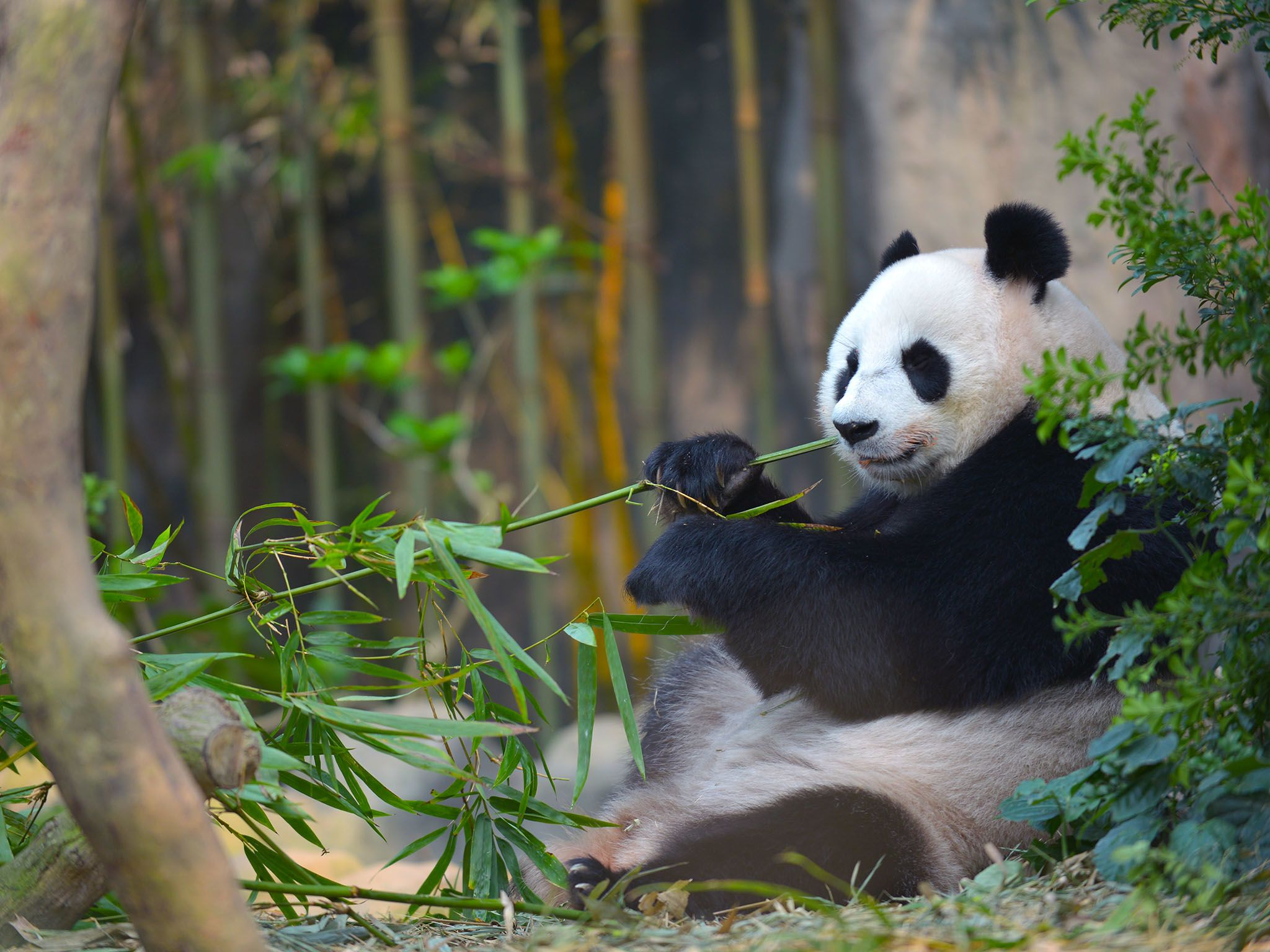 Singapore: Jia Jia eating bamboo shoots in her exhibit. This image is from Making Pandas. [Photo of the day - August 2016]