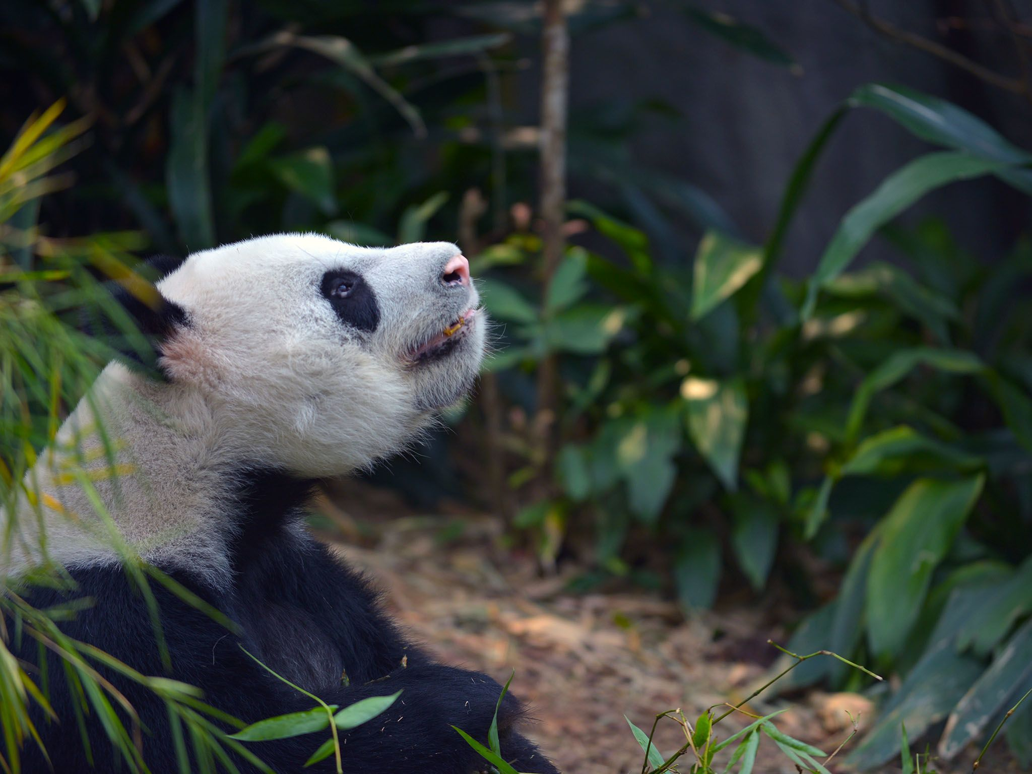 Singapore: Kai Kai in his exhibit. This image is from Making Pandas. [Photo of the day - August 2016]