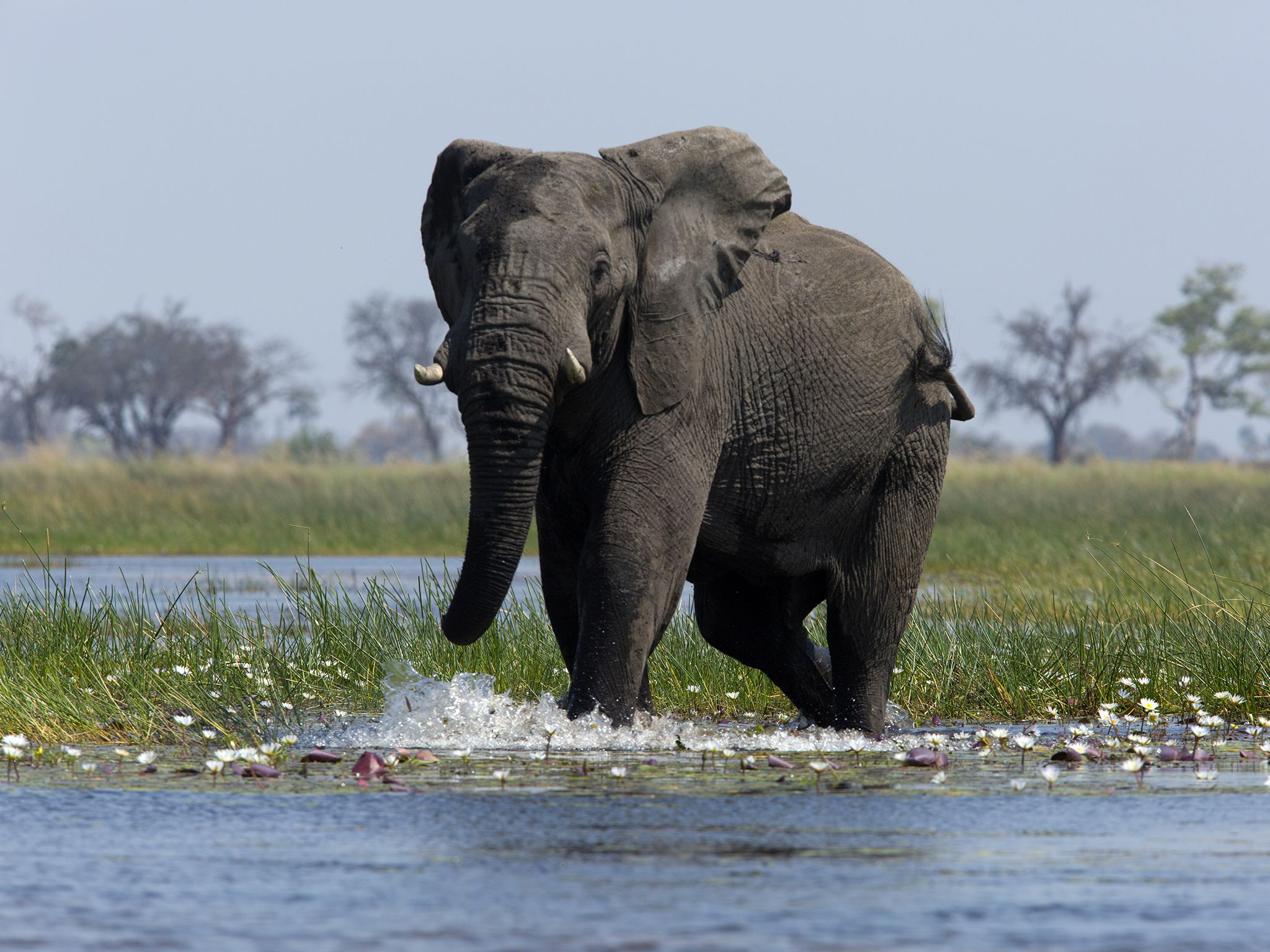 Botswana: Elephant walking into water, spotted on a river safari. This image is from Safari... [Photo of the day - 九月 2016]