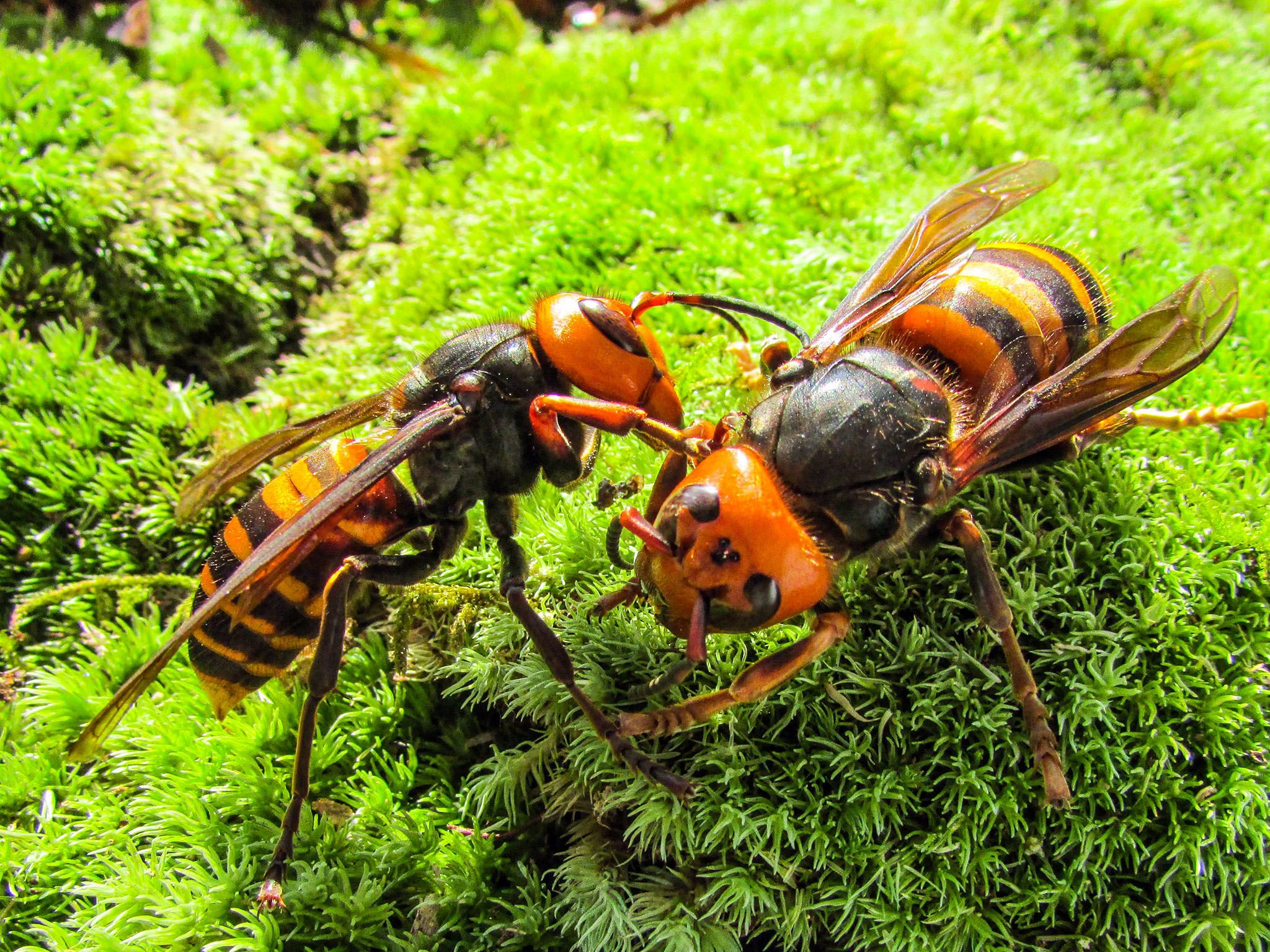 Matsuyama, Japan: Japanese giant hornets sitting on the grass communicating with each other.... [Photo of the day - سپتامبر 2016]