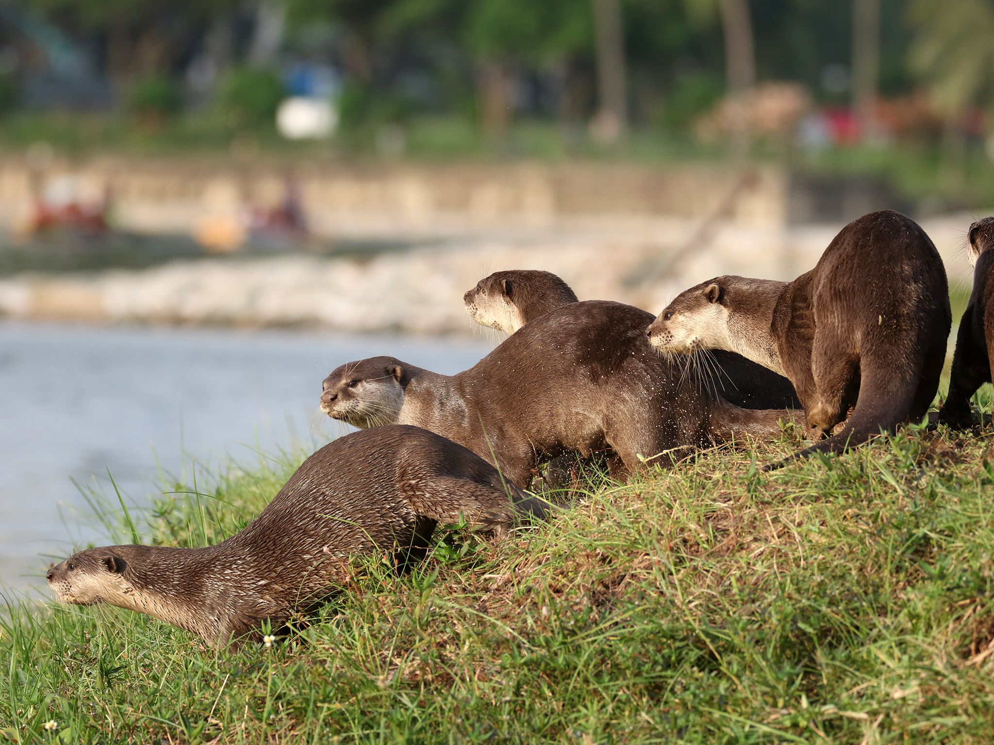 Singapore: A family of otters by the bank of Kallang River. This image is from Otter Town. [Photo of the day - سپتامبر 2016]