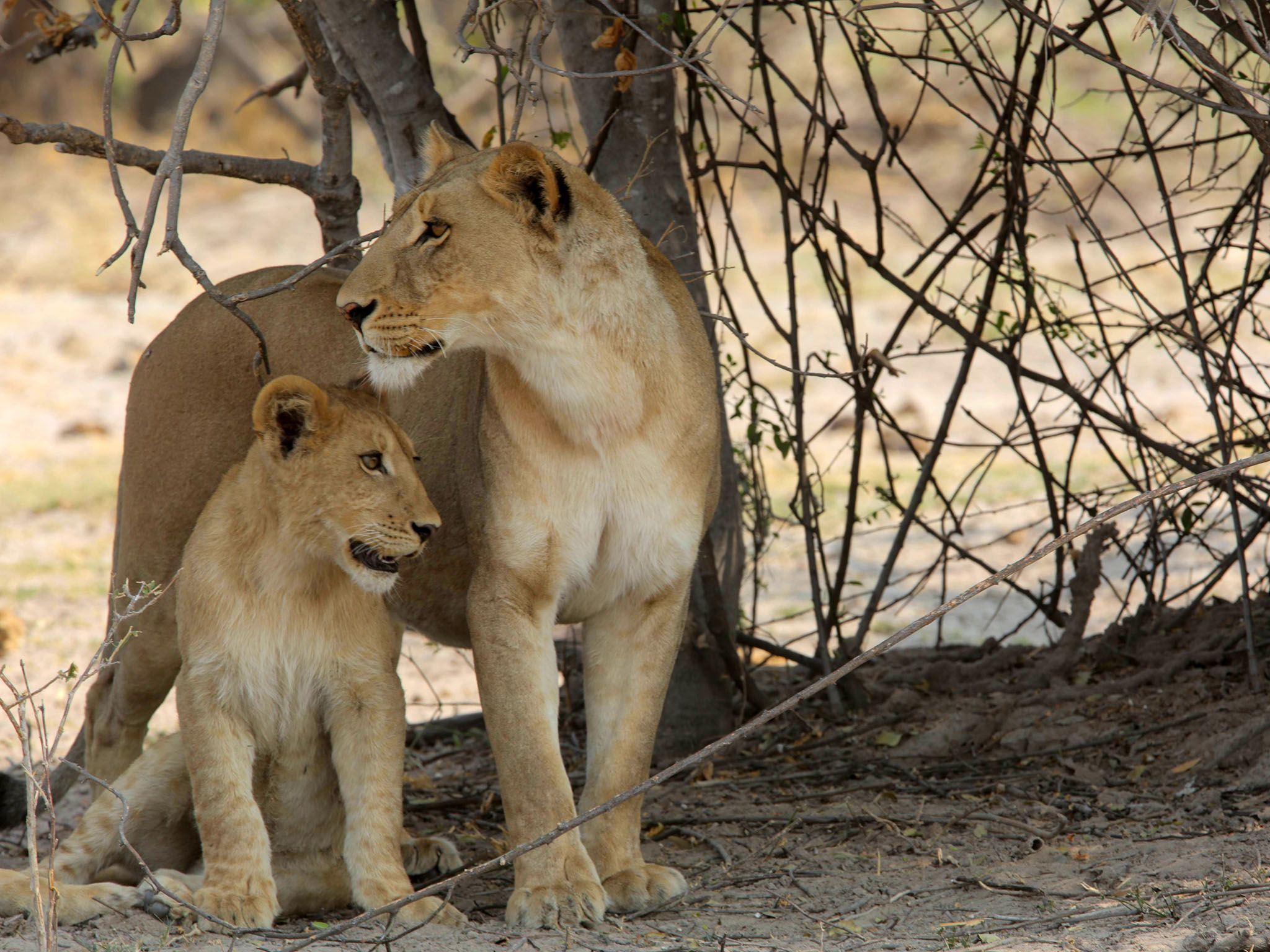 Botswana: Lioness and  cub under brush. This image is from Safari Brothers. [Photo of the day - 九月 2016]