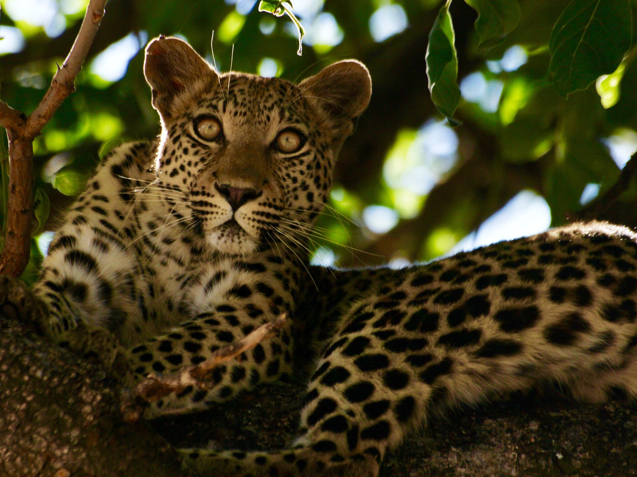 Botswana: Leopard lounging in tree. This image is from Safari Brothers. [Photo of the day - سپتامبر 2016]