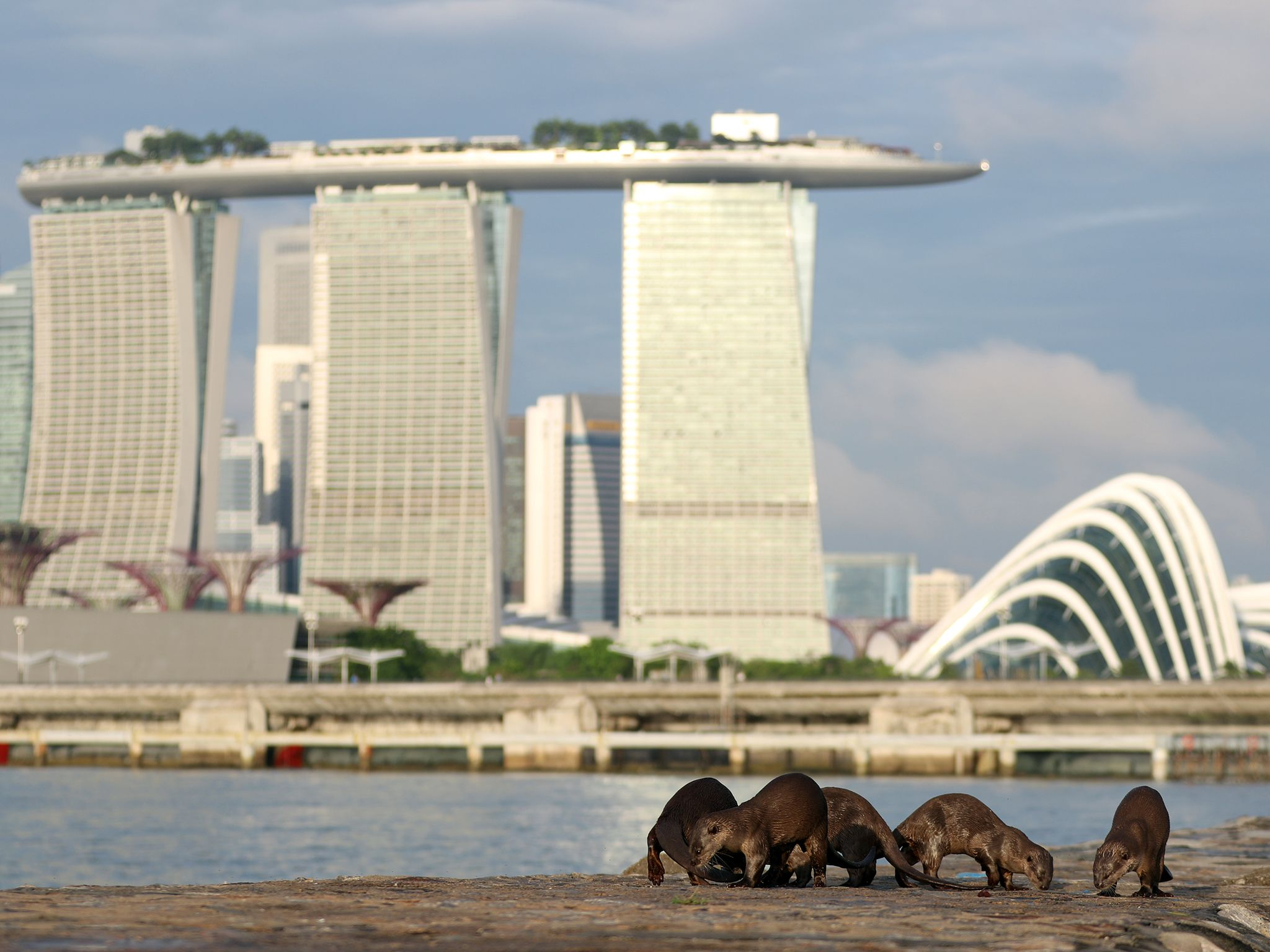 Singapore: A family of otters marking an area with their scent. This image is from Otter Town. [Photo of the day - سپتامبر 2016]
