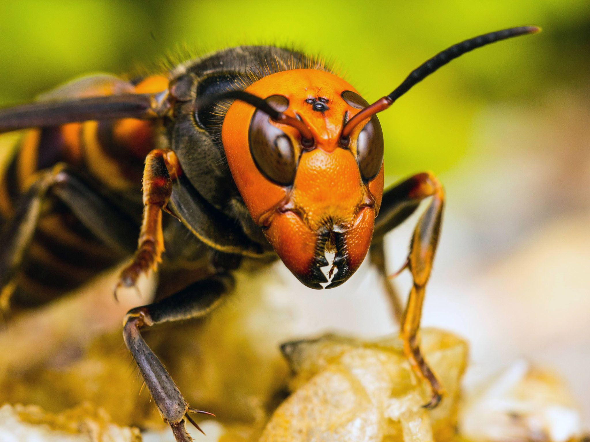 Matsuyama, Japan: Japanese giant hornet's face showing details. This image is from Killer Hornets. [Photo of the day - سپتامبر 2016]