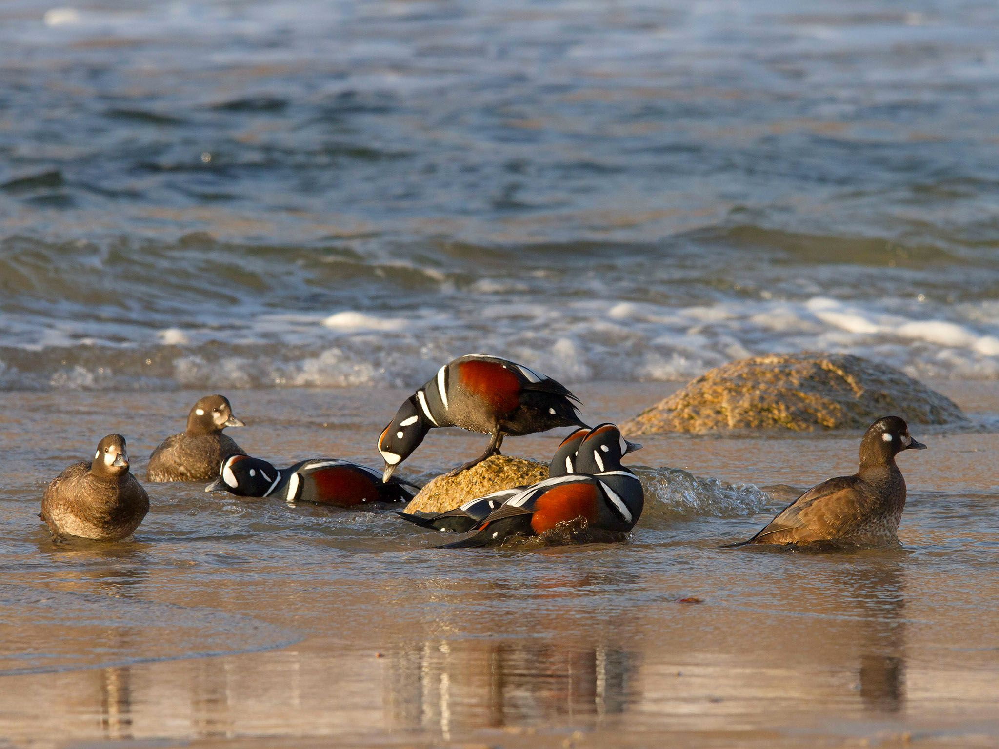 Harlequin ducks at the coast; only the males show full coloration. This image is from Amur:... [Photo of the day - September 2016]