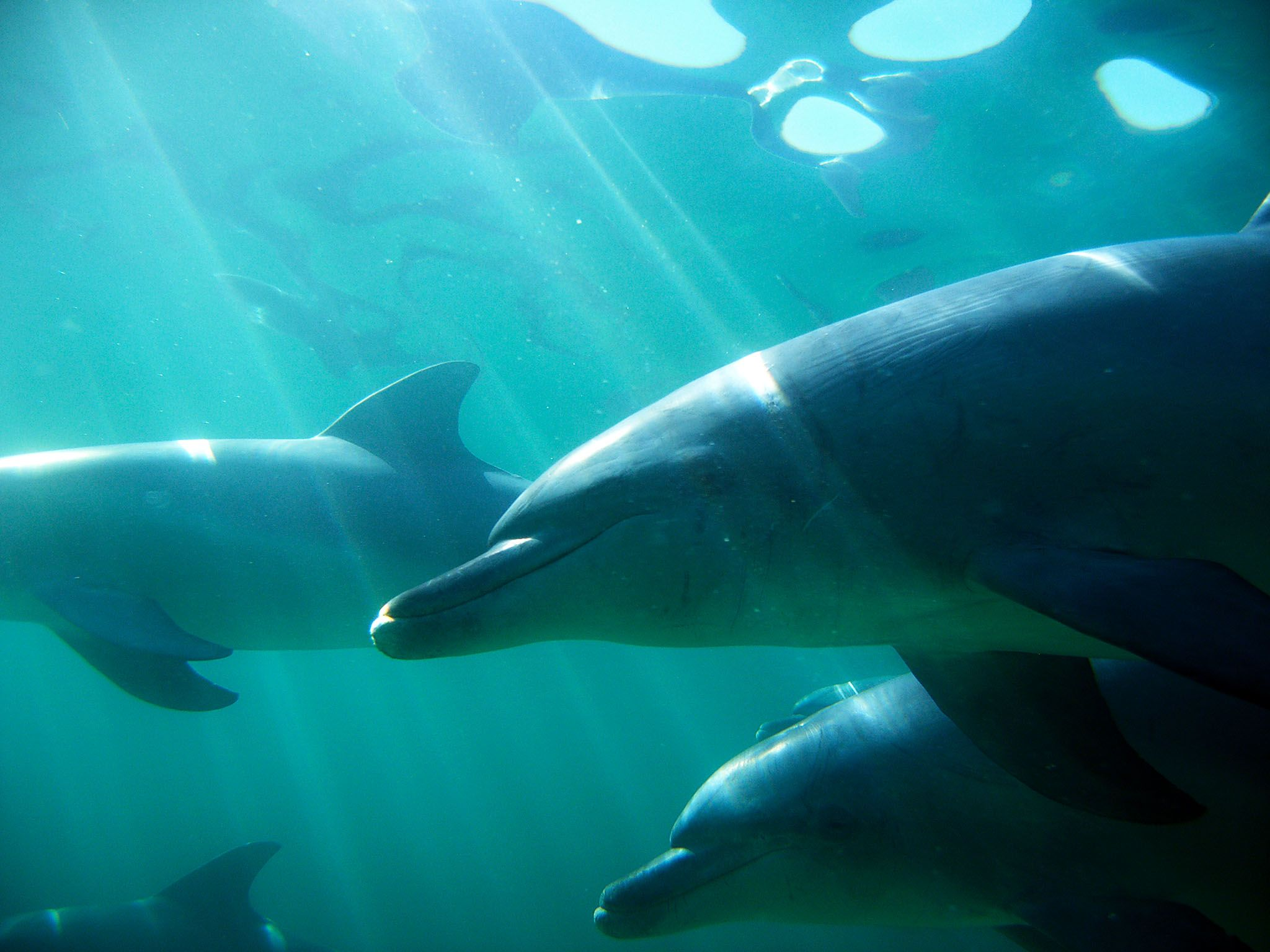 Australia: Swimming dolphins. This image is from Dolphin Dynasty. [Photo of the day - October 2016]