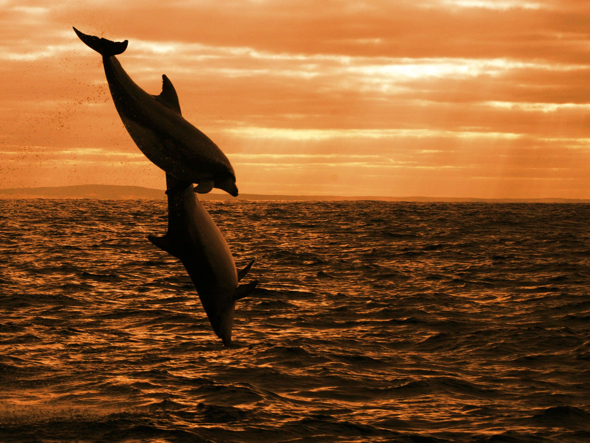Australia: Dolphins leaping at sunrise. This image is from Dolphin Dynasty. [Photo of the day - October 2016]