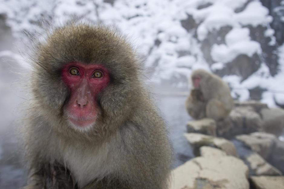 میمون برفی بالغ در چشمه های آب گرم هونسو. [Photo of the day - فوریه 2011]