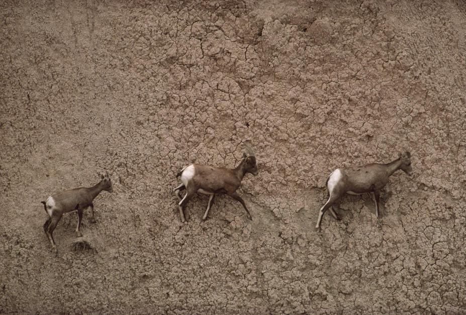 سه گوسفند کوهی آمریکایی در حال عبور از مسیری صعب... [Photo of the day - فوریه 2011]