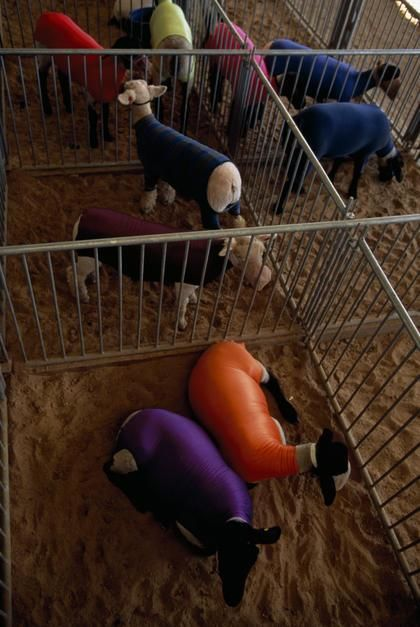 Stretch fabric protects newly-washed sheep from dirt prior to a livestock contest in Minnesota. [Photo of the day - July 2011]