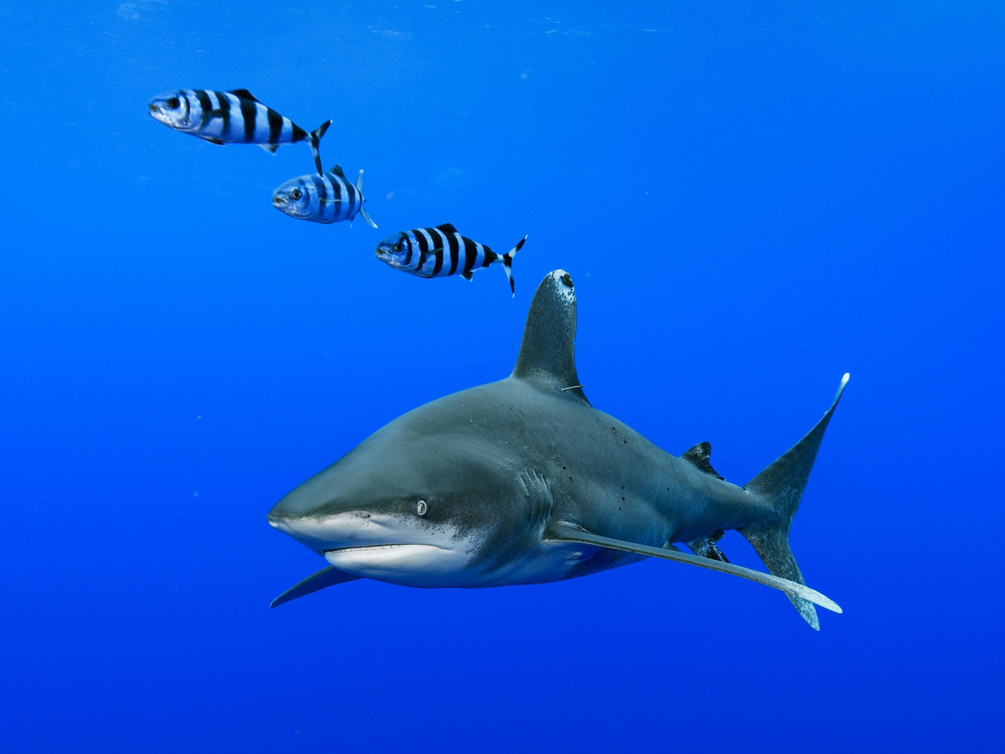 The Bahamas: Oceanic whitetip shark (Carcharhinus longimanus) in the waters off Cat Island in... [Photo of the day - November 2016]