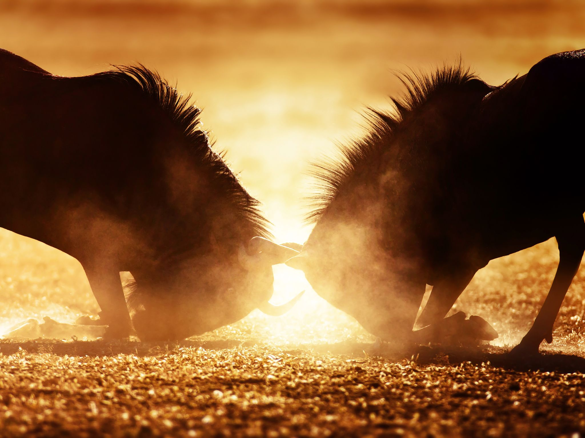Blue wildebeest dual in dust. This image is from Animal Fight Club. [Photo of the day - December 2016]