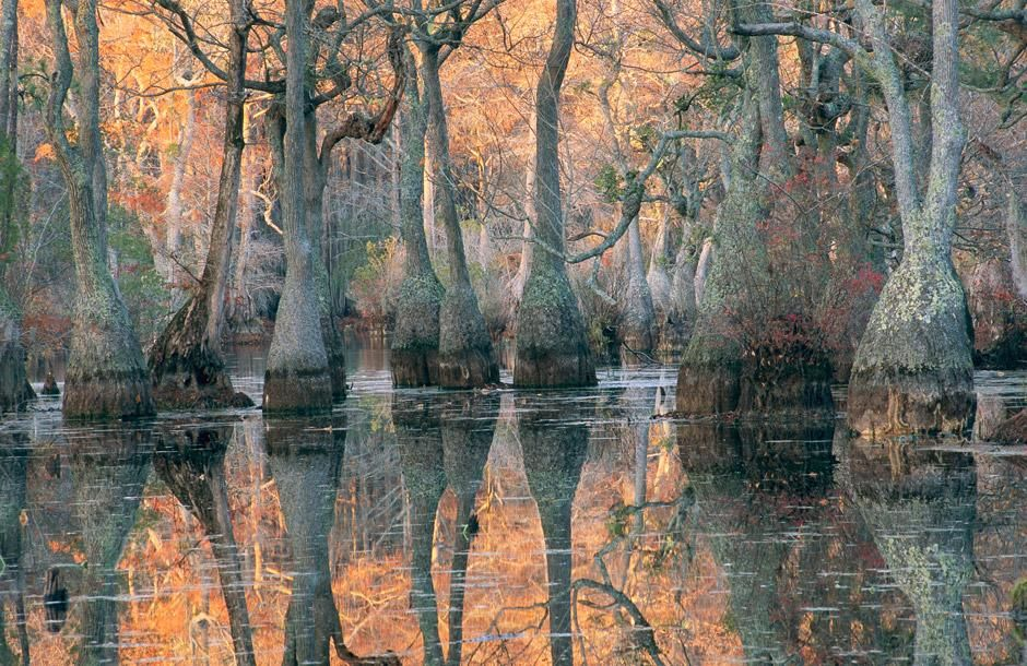 Sunlight through a cyprus swamp. Merchants Millpond State Park, North Carolina [Photo of the day - January 2012]