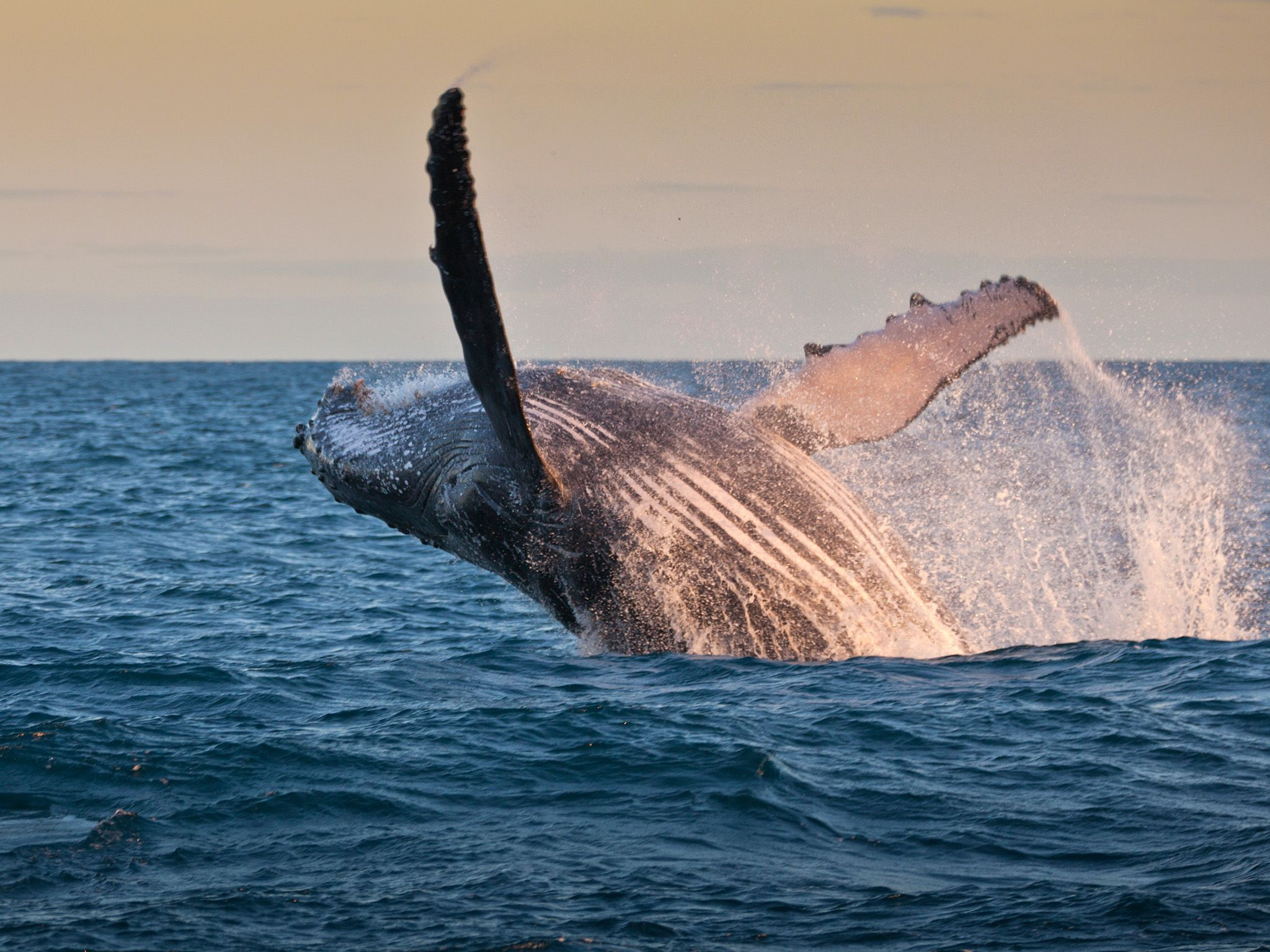 Humpback whale jumping out of the water. This image is from River in the Sky. [Photo of the day - December 2016]