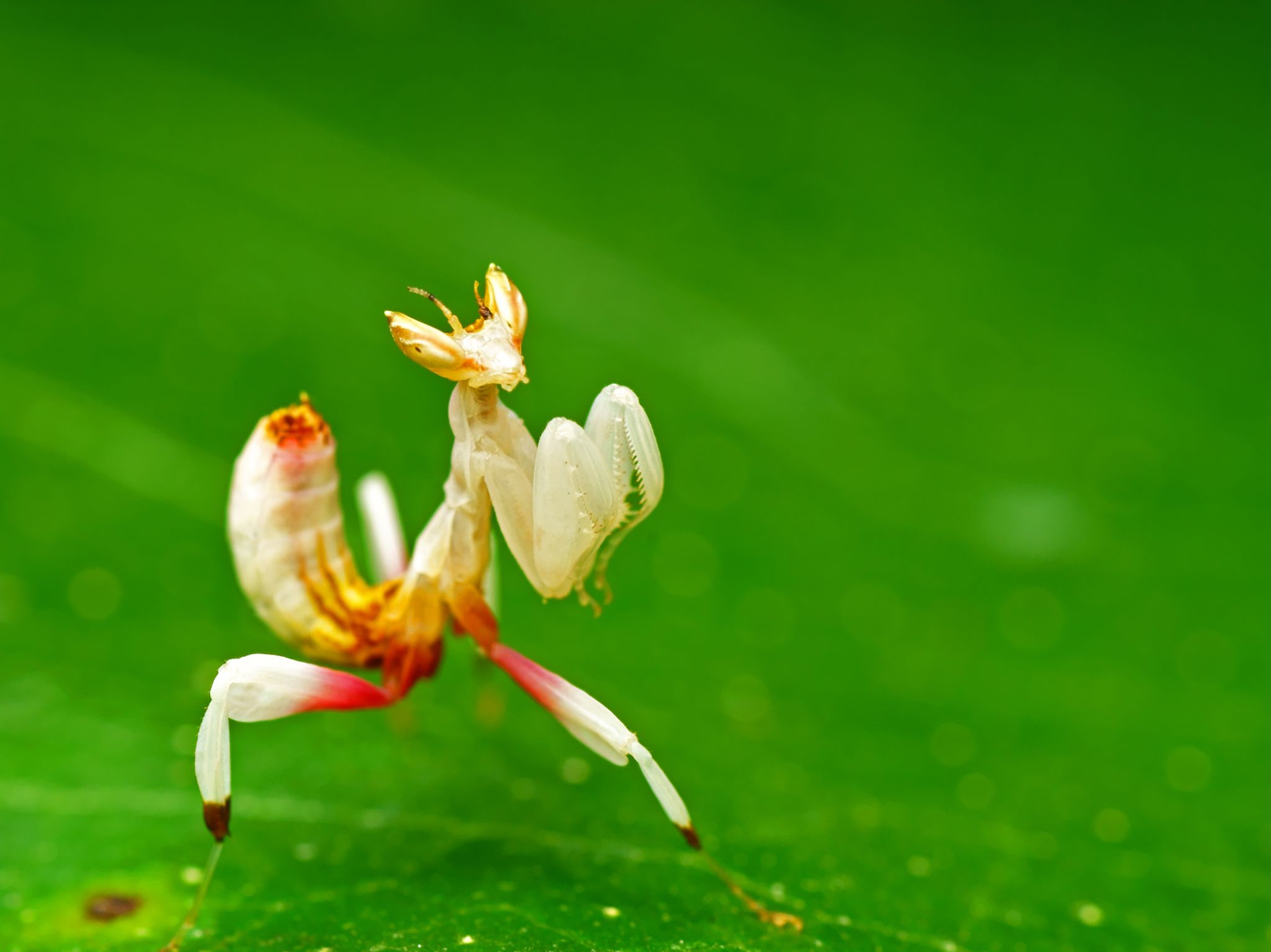 The delicate orchid mantis is a merciless hunter in a beautiful disguise. This image is from... [Photo of the day - ژانویه 2017]