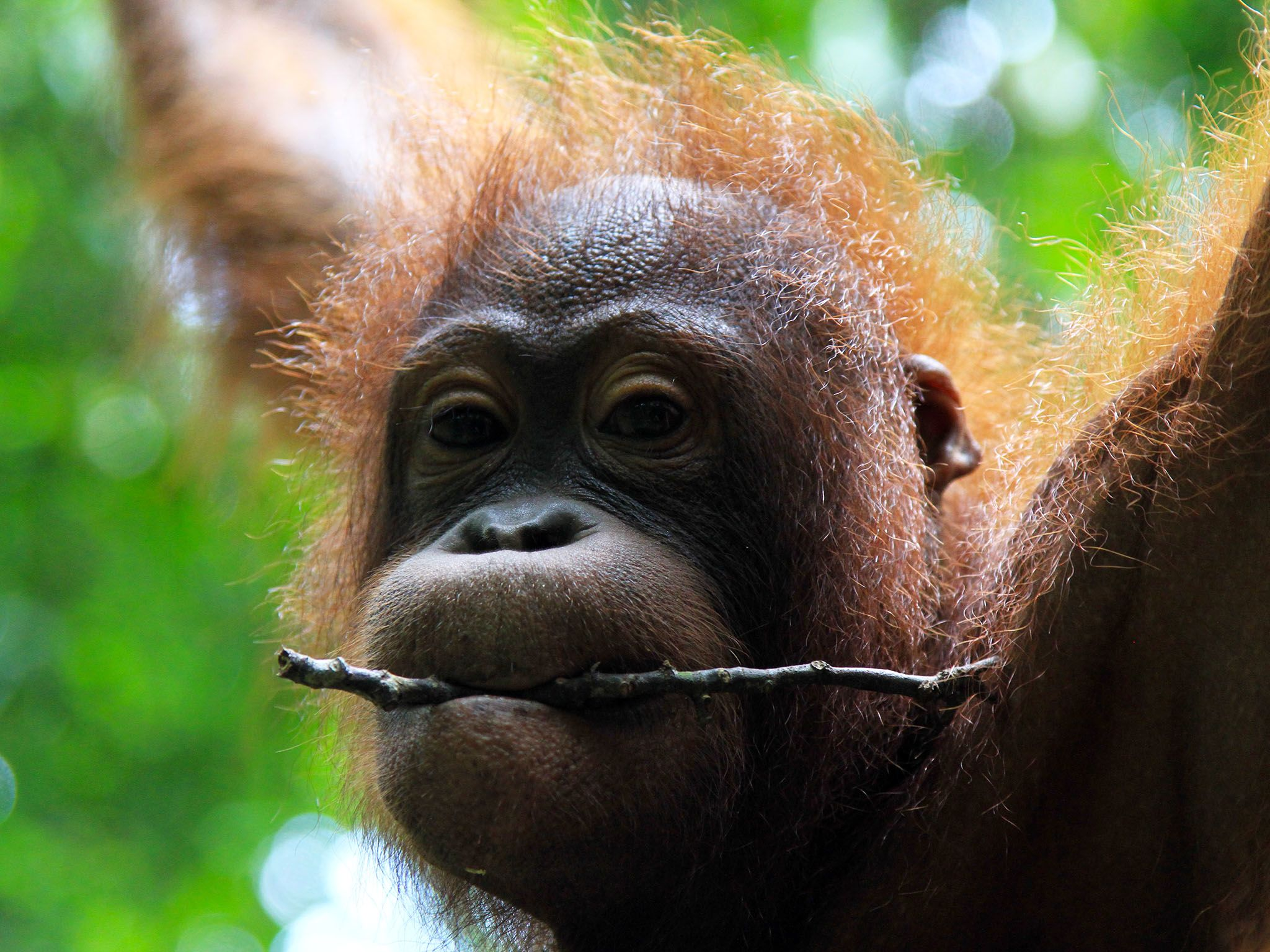 Malaysia: Baby orangutan holding stick in mouth. This image is from Borneo's Secret Kingdom. [Photo of the day - January 2017]