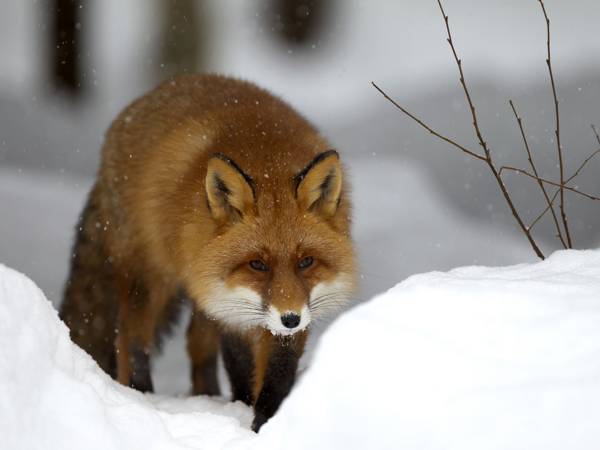 The red fox can hunt through snow like few other animals, tracking rodents by scent and diving... [Photo of the day - ژانویه 2017]