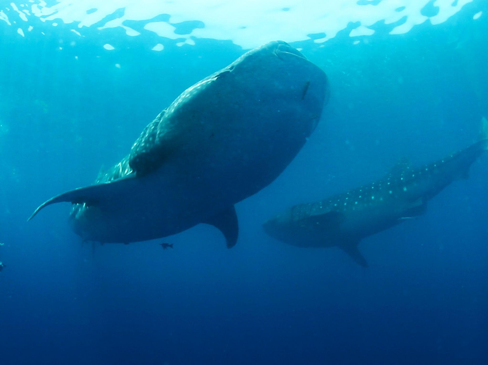 Il dottor Eric Hoffmayer, biologo della Research Fishery Biologist nuota liberamente vicino a un... [Foto del giorno - gennaio 2017]