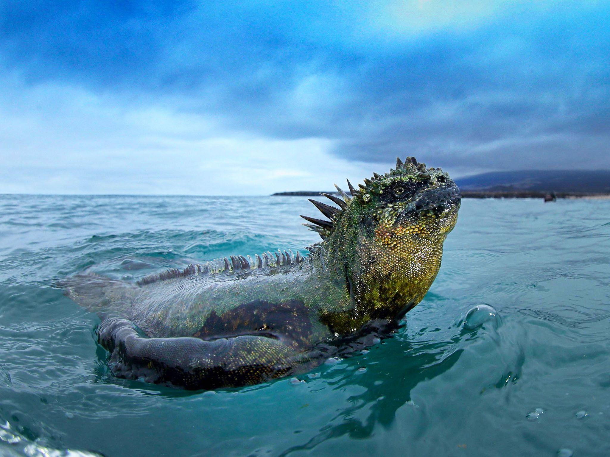 الإغوانة البحرية تسبح عائدةً نحو اليابسة.  هذه... [Photo of the day - يناير 2017]