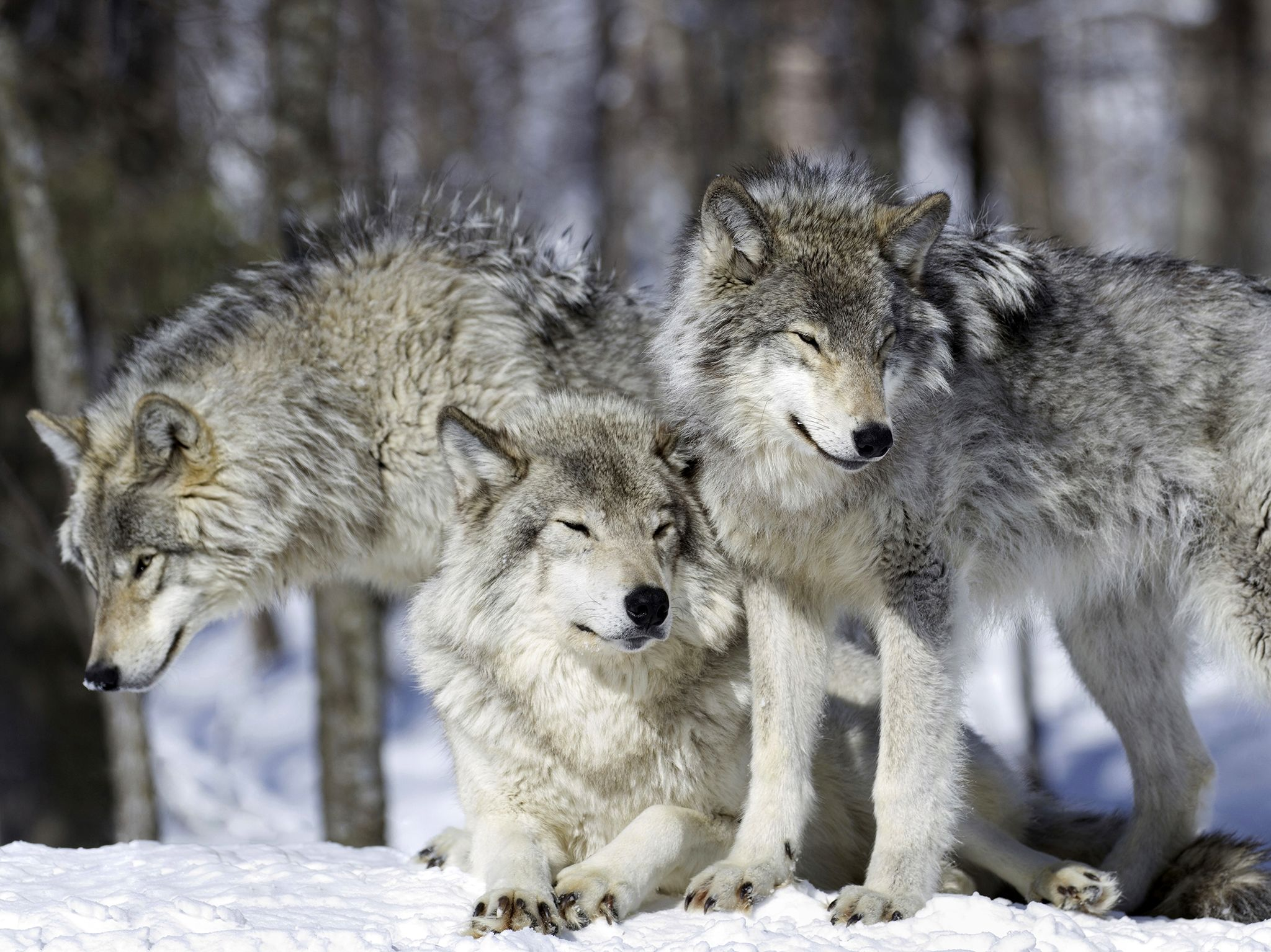 Once exterminated from the Rockies, the grey wolf is back in growing numbers so that it can once... [Photo of the day - ژانویه 2017]