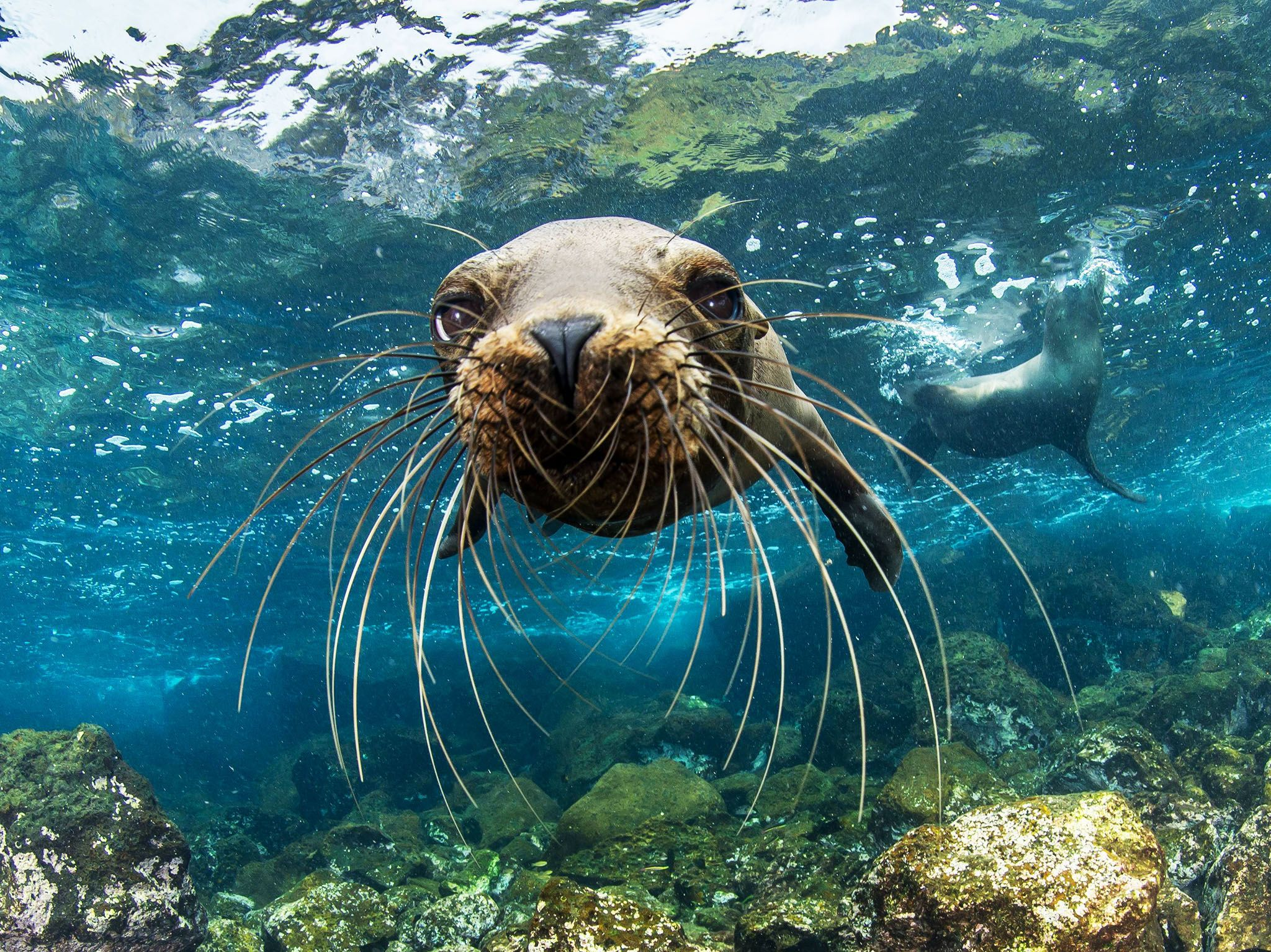 A young Galapagos sea lion approaches Enric Sala's camera curiously off Santa Cruz Island. This... [Photo of the day - 一月 2017]