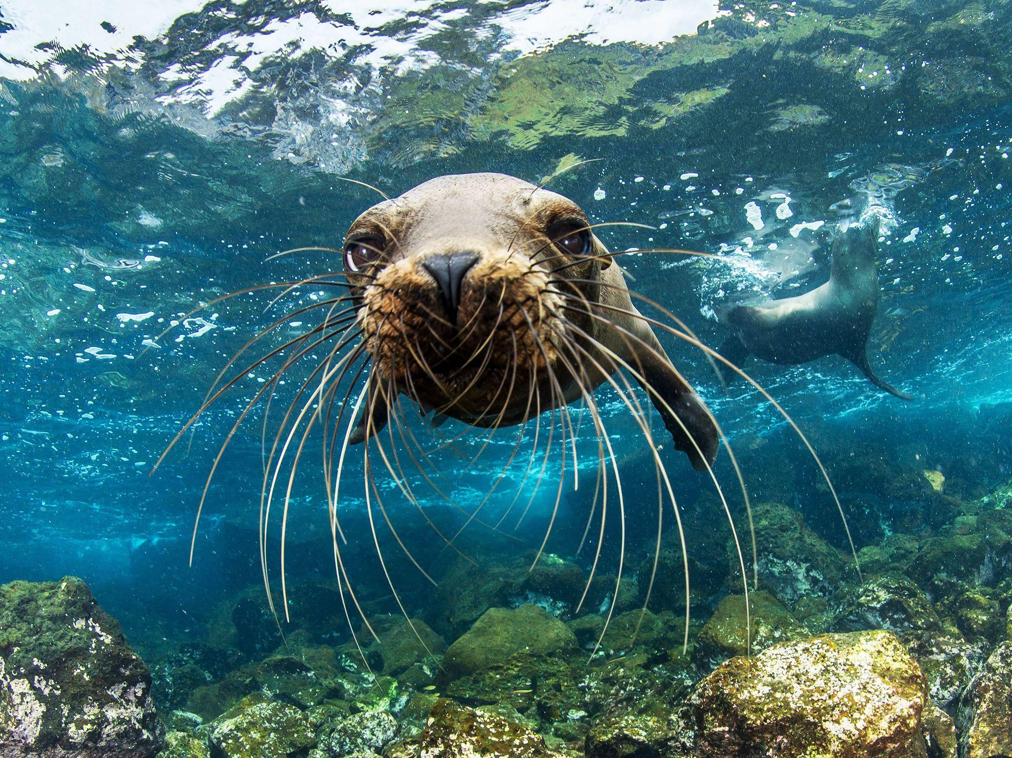 Un giovane leone marino delle Galapagos si avvicina alla macchia da presa di Enric Sala nei... [Foto del giorno - gennaio 2017]