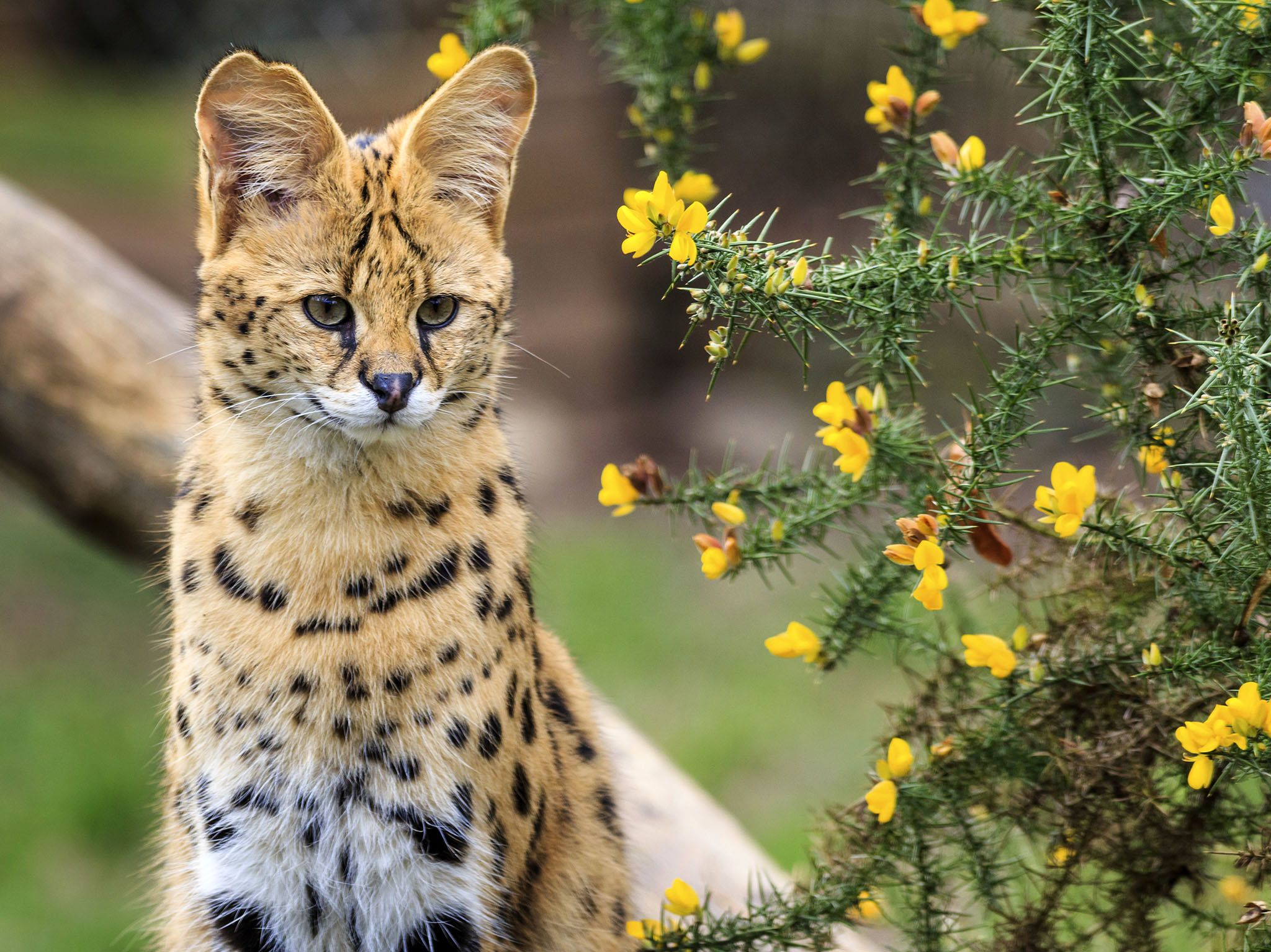 Africa: The diminutive serval is the most successful of all the hunting cats, catching several... [Photo of the day - ژانویه 2017]