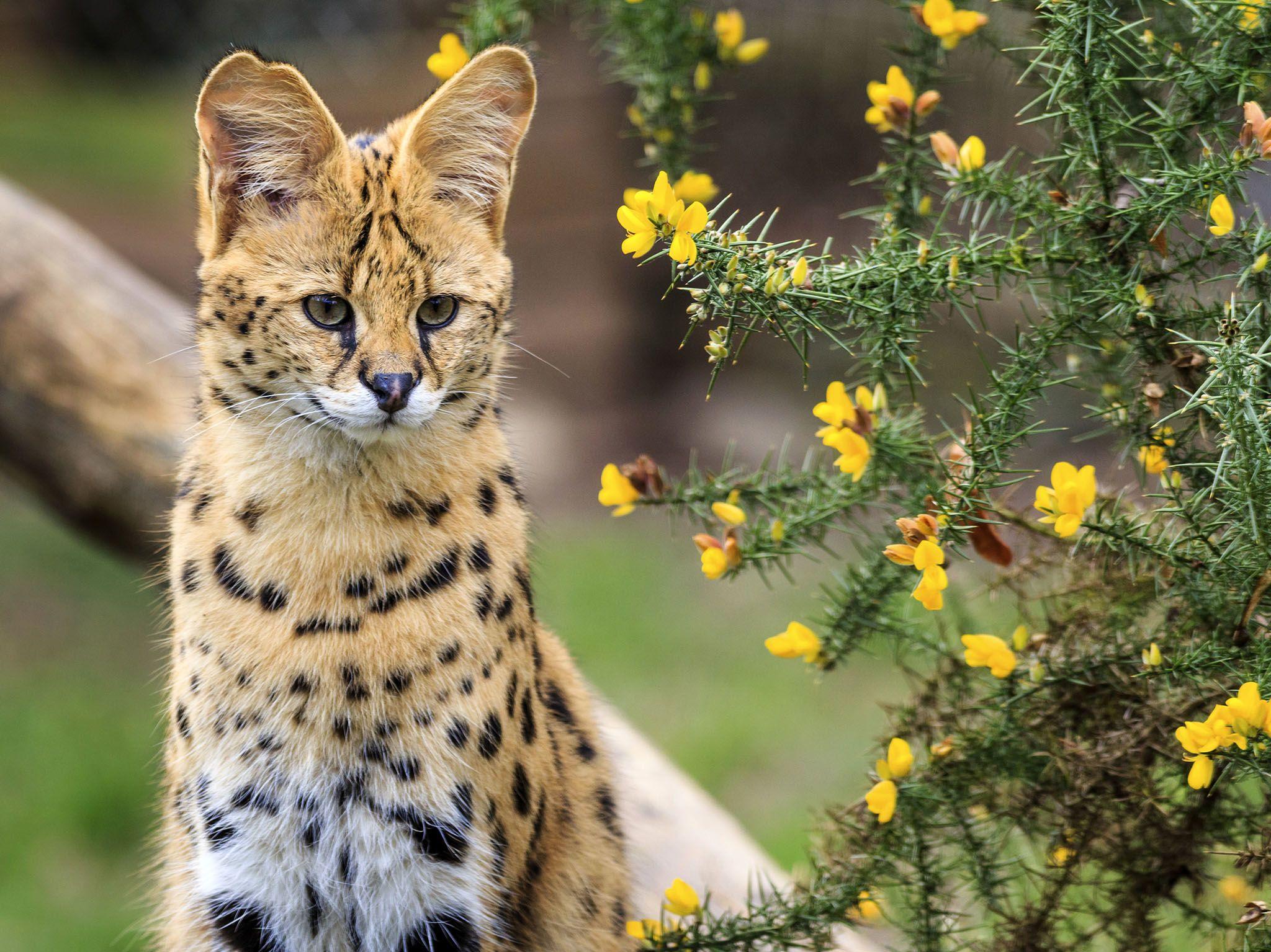 Africa: il servalo (Leptailurus serval, gattopardo africano) è uno dei felini cacciatori più... [Foto del giorno - gennaio 2017]
