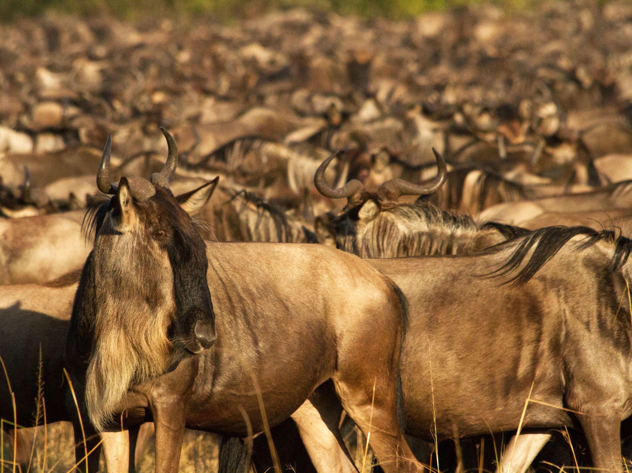 Kenya: una mandria di gnu a raccolta in attesa di attraversare  before il fiume Mara. [Foto del giorno - gennaio 2017]