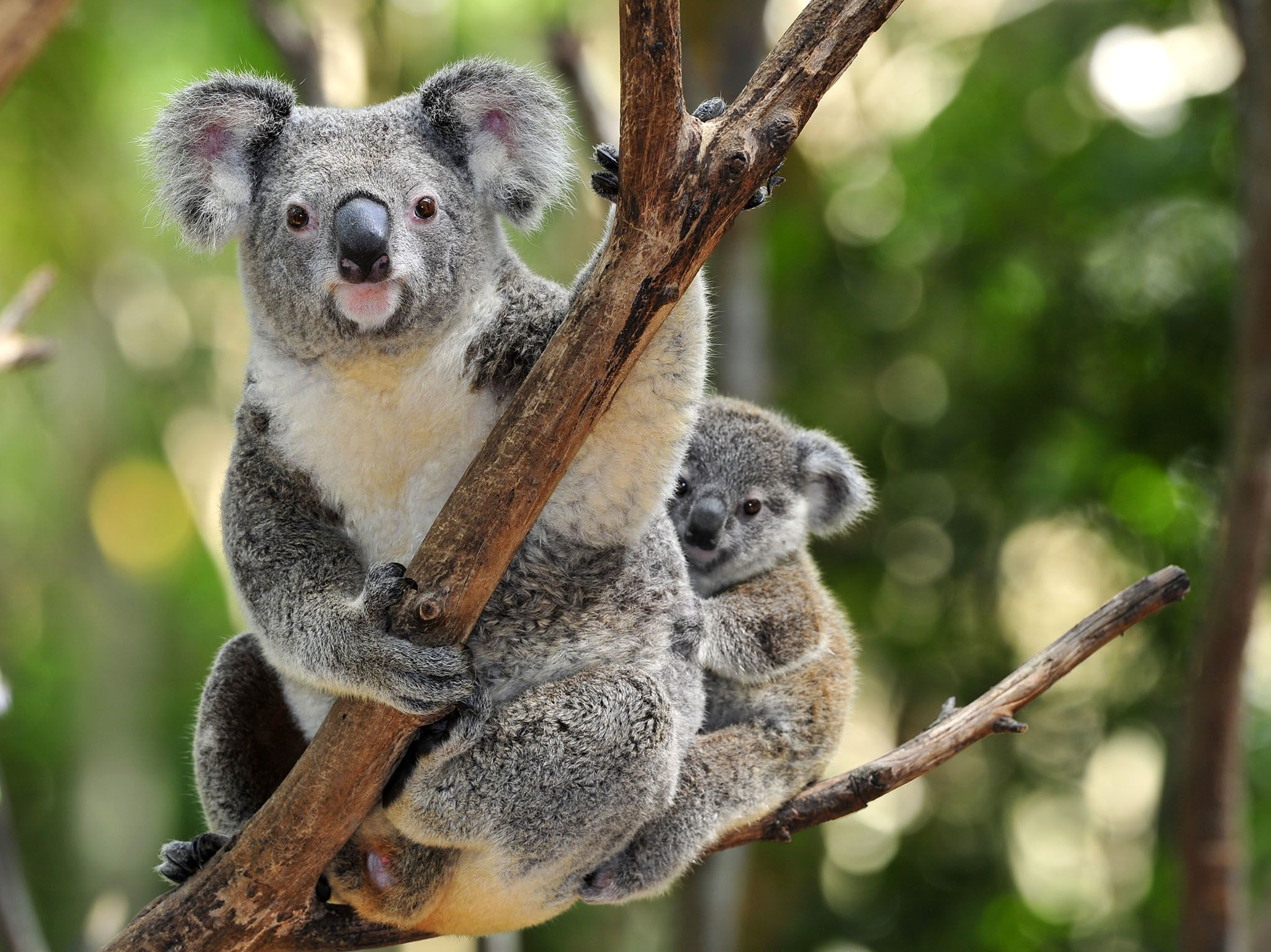 Sydney, Australia: Australian koala bear with her baby or joey in eucalyptus or gum tree,... [Photo of the day - 三月 2017]