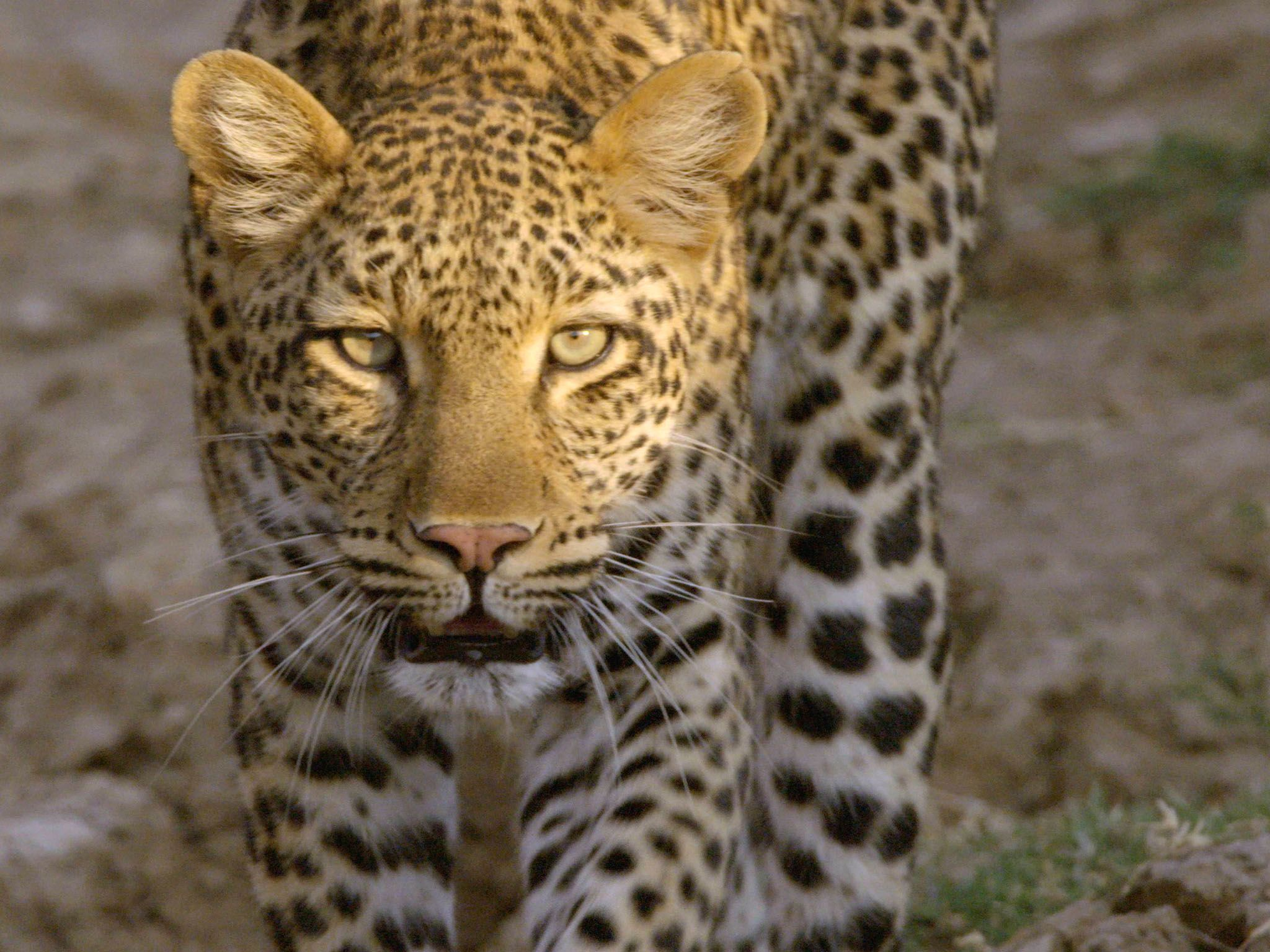 Leopard slowly approaching camera. This image is from Africa's Hunters. [Photo of the day - 三月 2017]