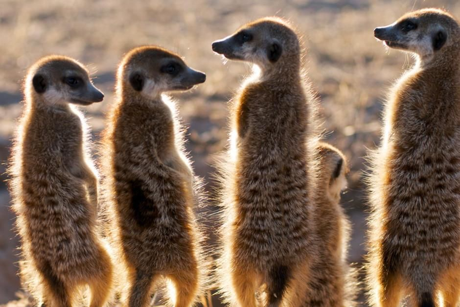 خمسة من حيوانات الميركات تستلقي تحت أشعة الشمس وقت... [Photo of the day - فبراير 2012]