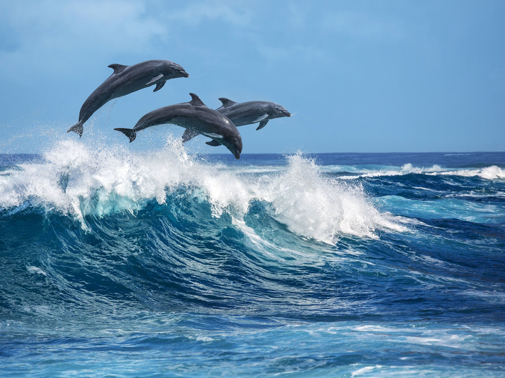 Hawaii: Three beautiful dolphins jumping over breaking waves. Hawaii Pacific Ocean wildlife... [Photo of the day - 三月 2017]