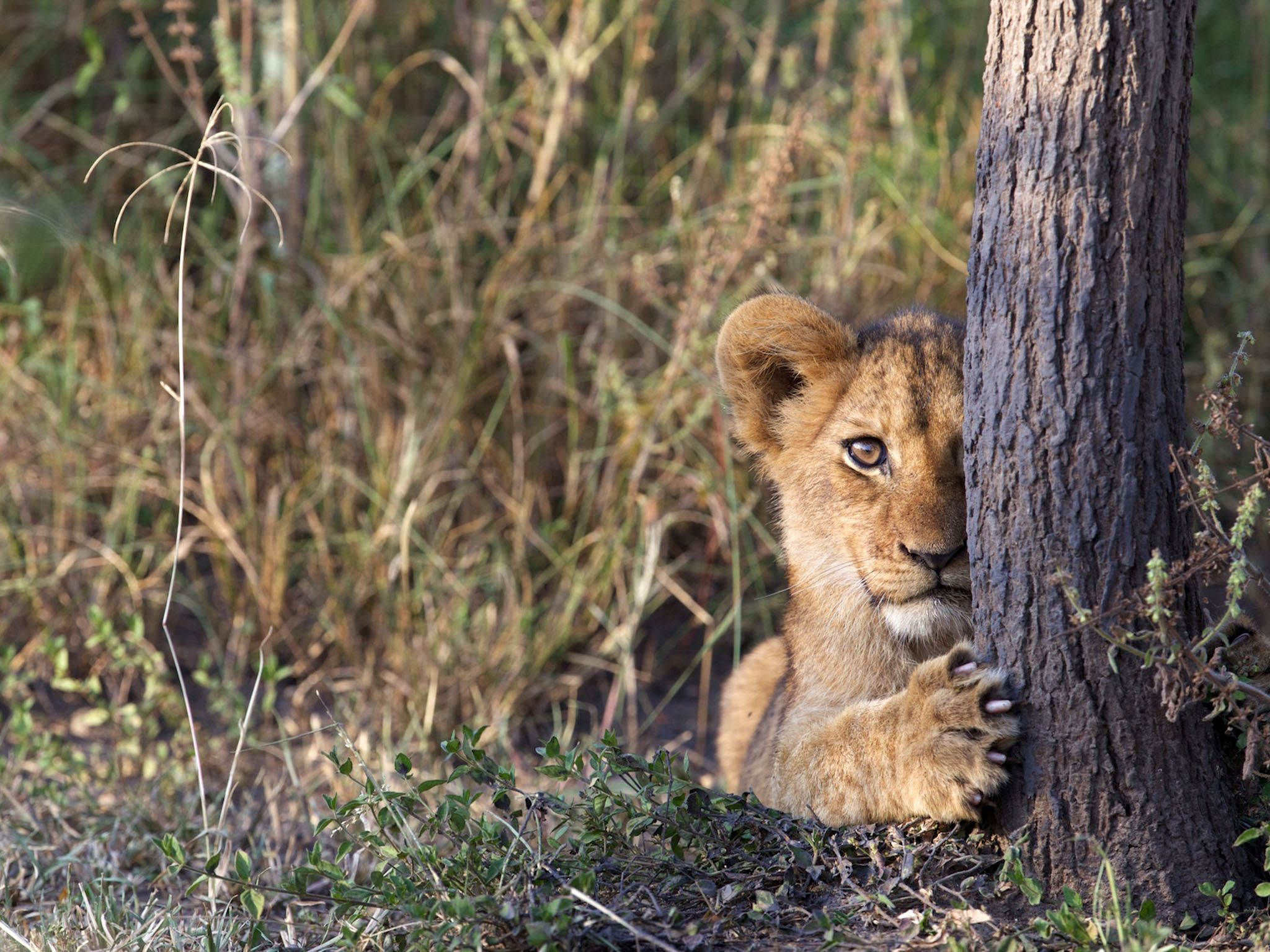 Rwanda: Lion cub peeking out from behind tree trunk in Akagera National Park, Rwanda. This image... [Photo of the day - 三月 2017]