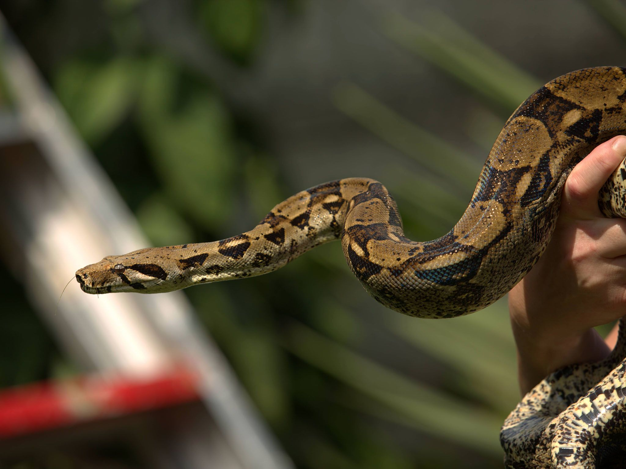 Durban, South Africa: Boa constrictor (Boa constrictor) being handled by Simon Keys. Simon... [Photo of the day - March 2017]