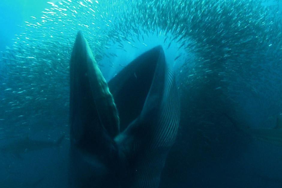 یک نهنگ براید با دهانی کاملاً باز درحال بلعیدن ماهی... [Photo of the day - فوریه 2012]