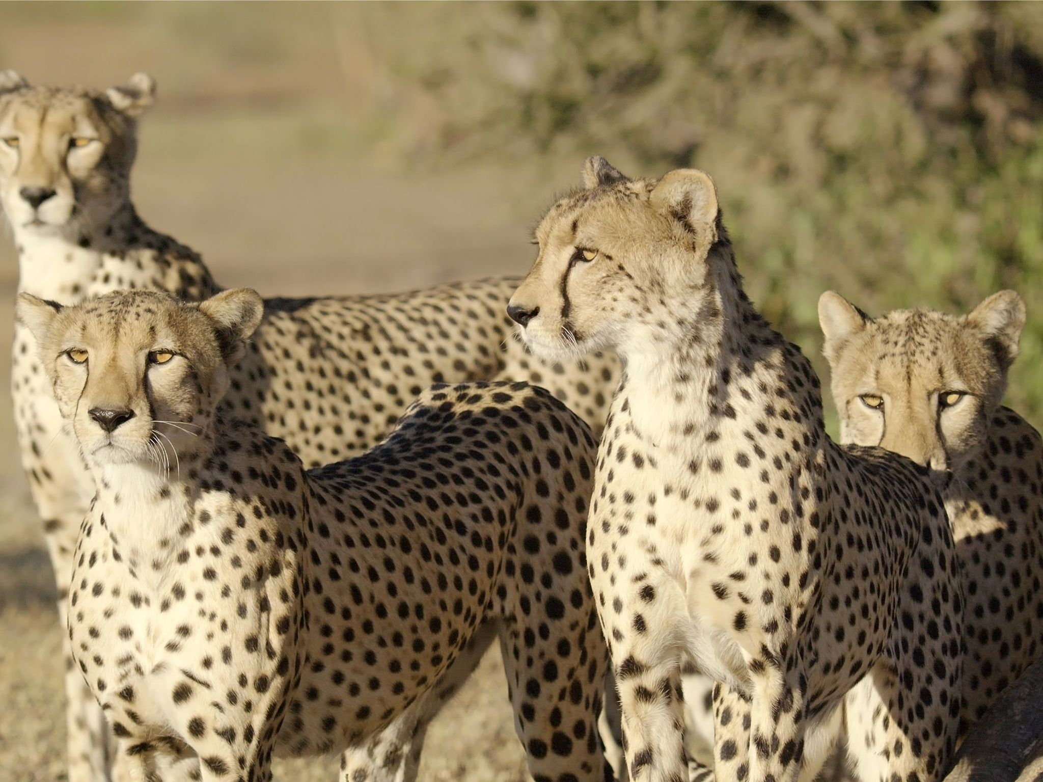 Botswana:  A family of cheetah stare into the distance. This image is from Storm Cats. [Photo of the day - March 2017]