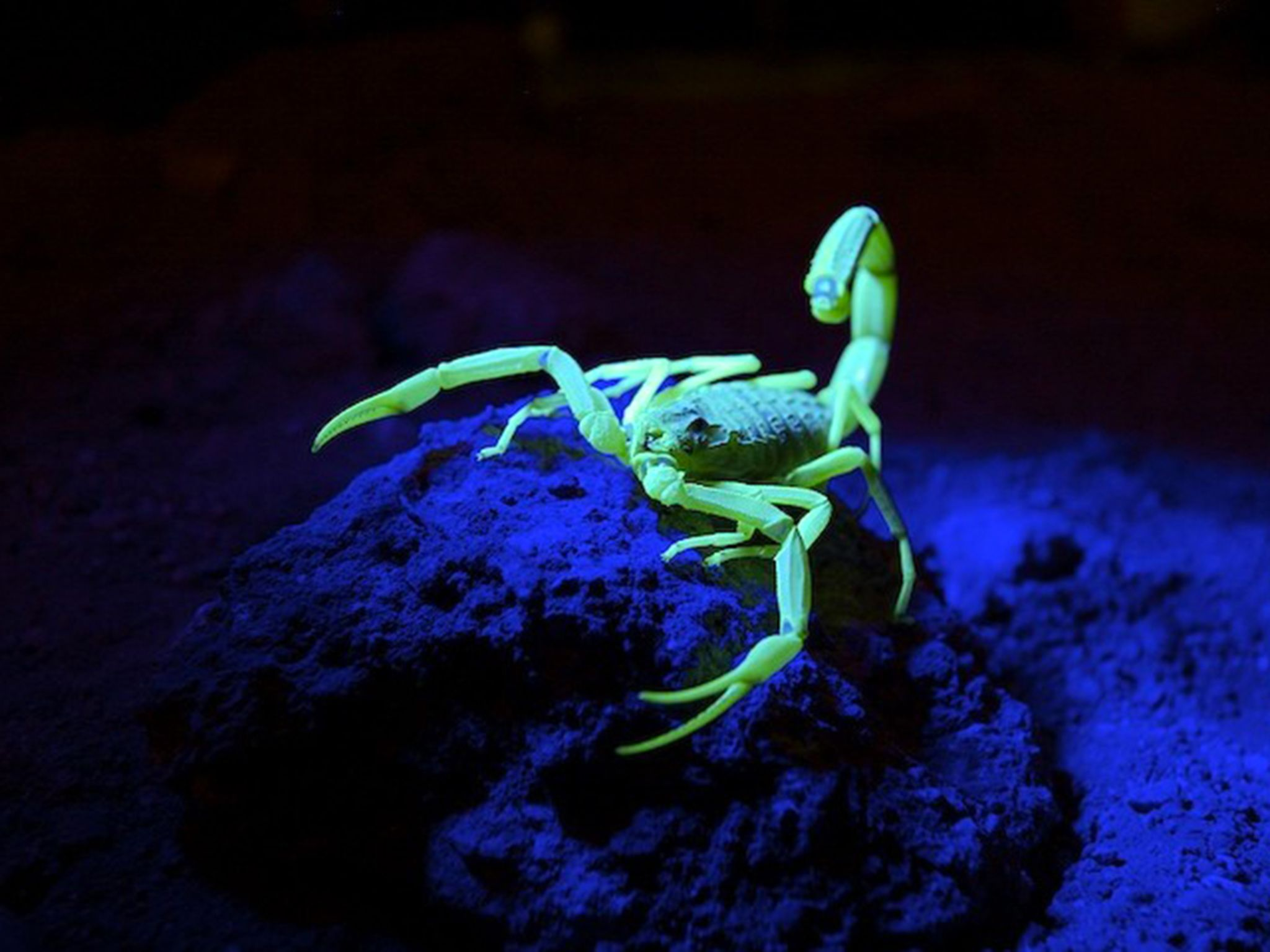 The death stalker scorpion glows underneath black light. This image is from Bite, Sting, Kill. [Photo of the day - 四月 2017]