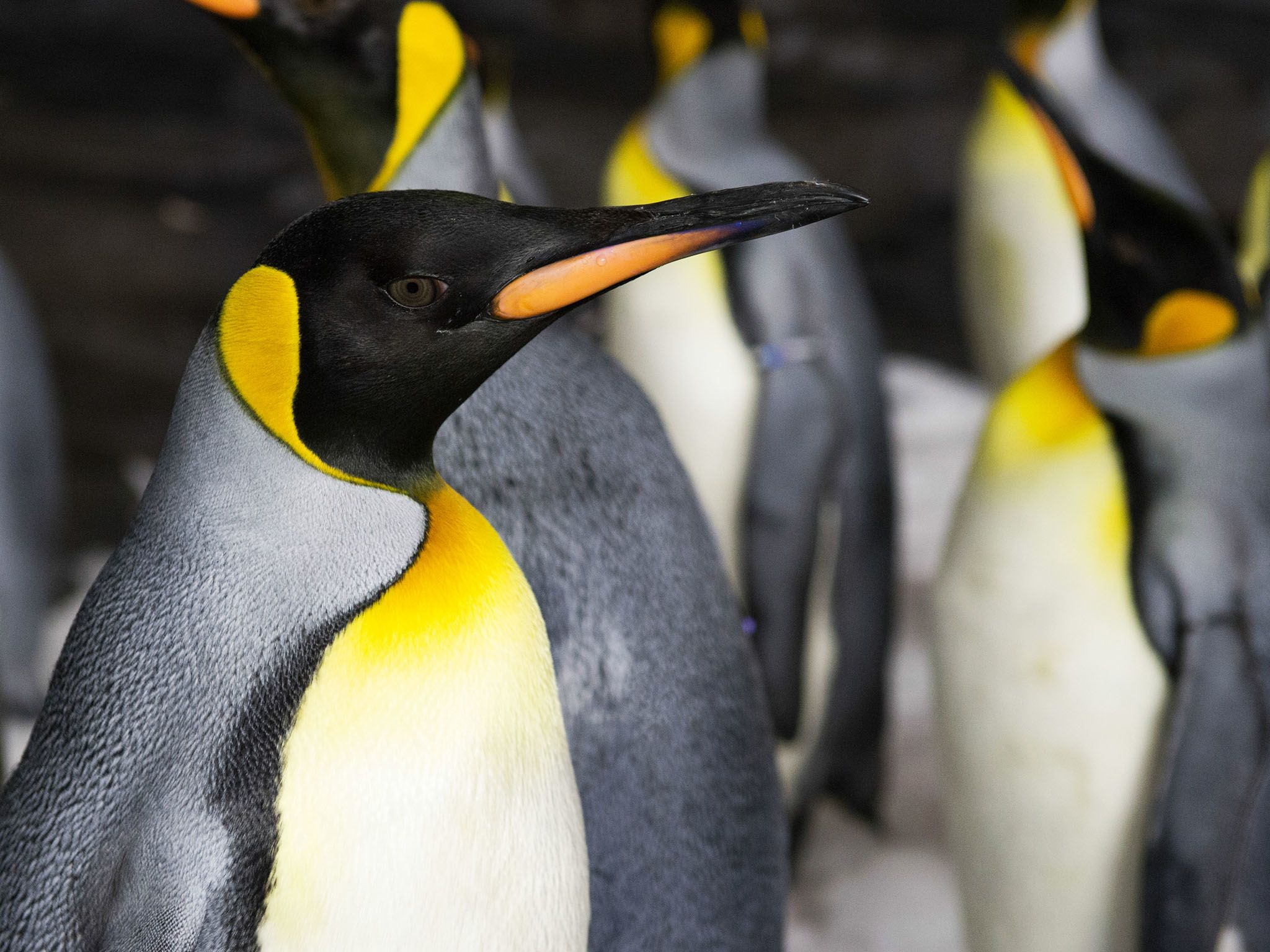 SeaWorld, Orlando, FL: Close up of  penguins in enclosure. This image is from Penguinpalooza. [Photo of the day - April 2017]