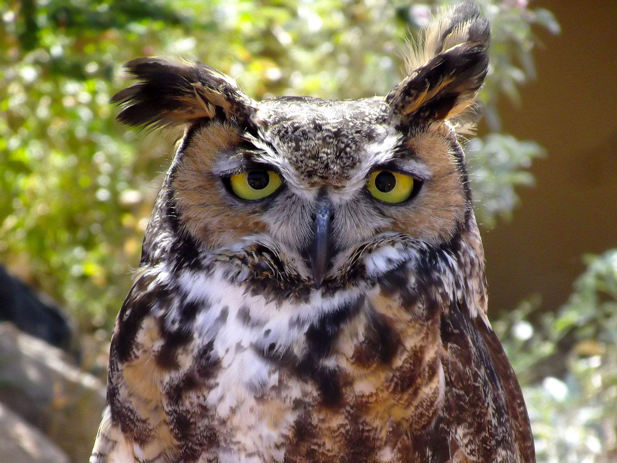 Arizona: Great horned owl. This image is from The Desert Sea. [Photo of the day - آوریل 2017]