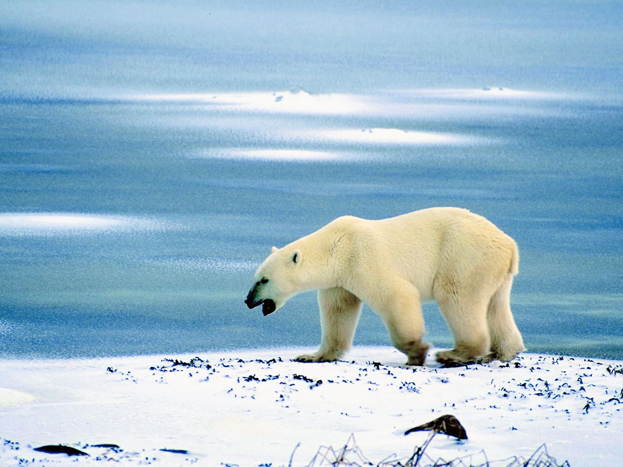 A polar bear at the seaside. This image is from Planet Carnivore. [Photo of the day - آوریل 2017]