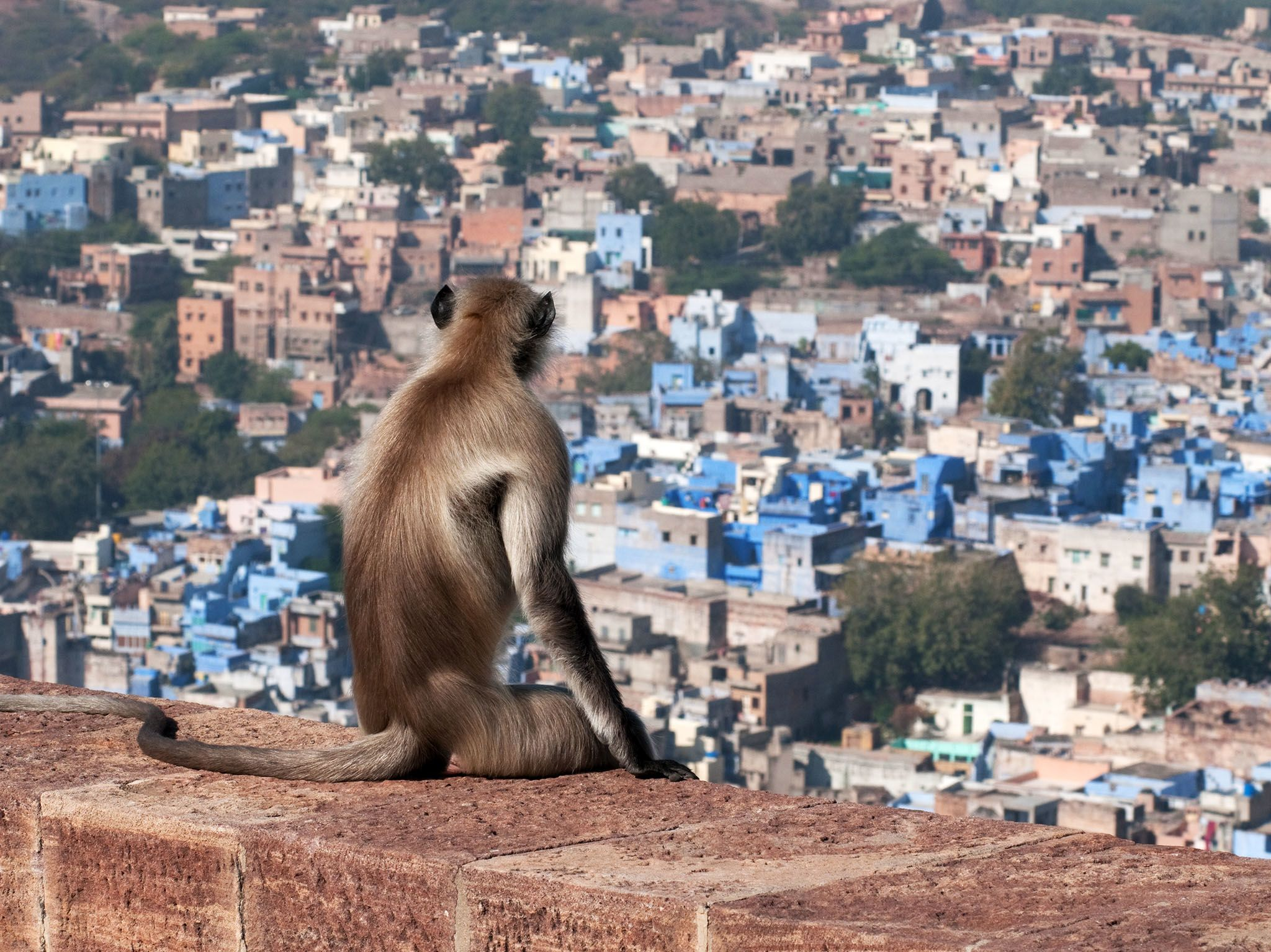 Thar: Honoured above all of jodhpur's wild inhabitants, is the hanuman langur, believed to be... [Photo of the day - 四月 2017]