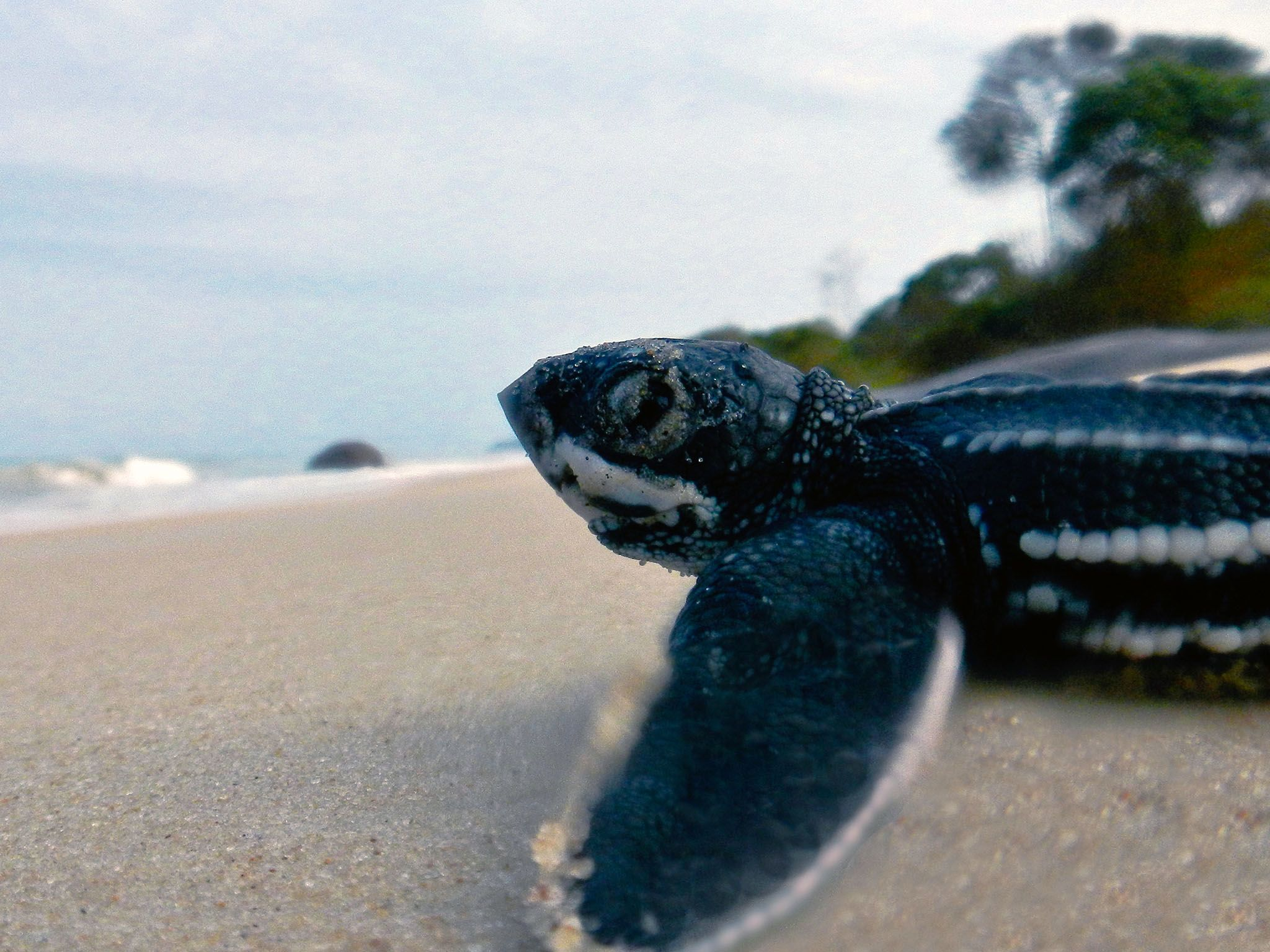 Pongara National Park, Libreville, Gabonese Republic: Leatherback hatchlings use the moon and... [Photo of the day - آوریل 2017]