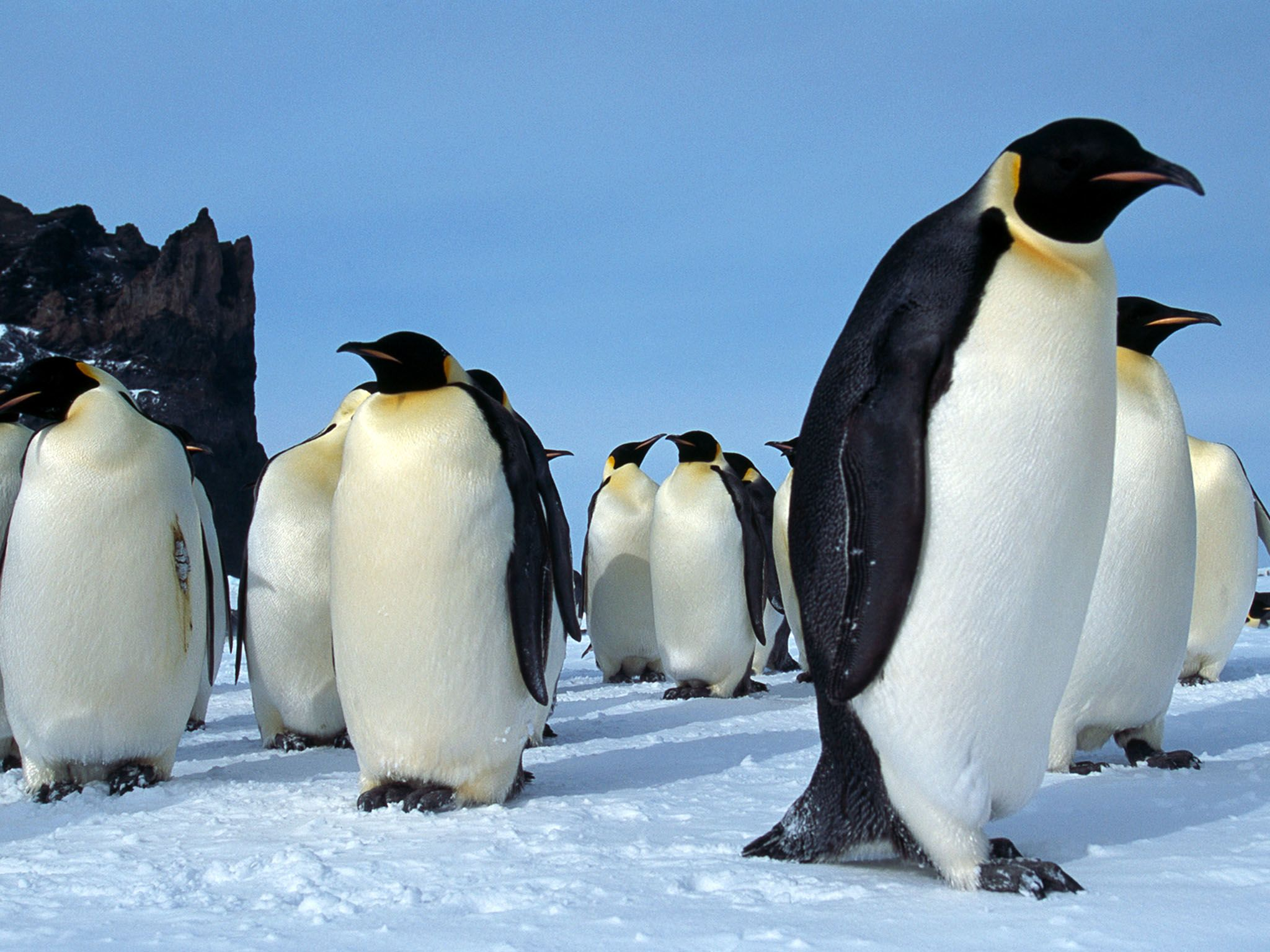Cape Washington, Antarctica: A group of adult emperor penguins stand together on the ice in Cape... [Photo of the day - آوریل 2017]