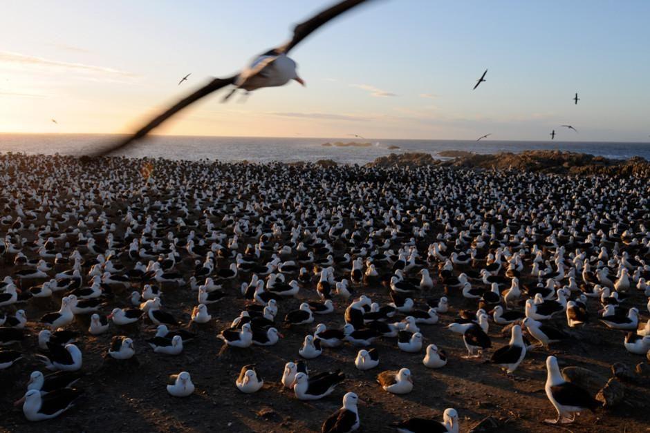یک مرغ دریایی پر سیاه بالهای دو و نیم متری خود در هوا... [Photo of the day - فوریه 2012]