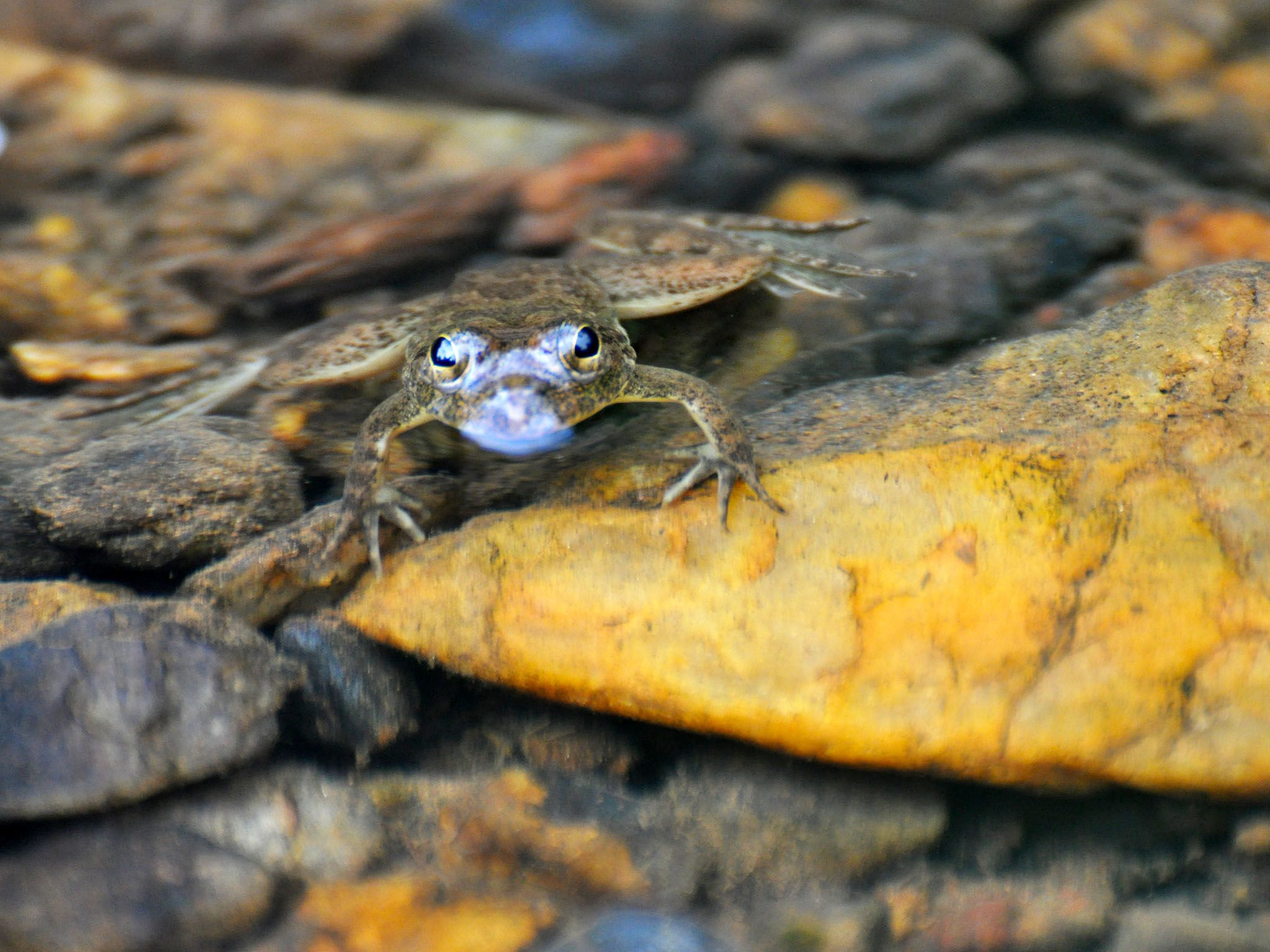 Western Ghats: A huge majority of the amphibians found in the Western Ghats are endemic, with... [Photo of the day - April 2017]