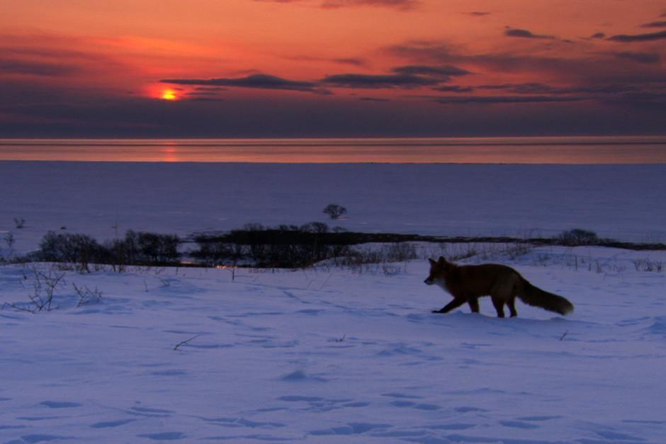 روباه ها به خواب زمستانی نمی روند. در مقابل پوست... [Photo of the day - فوریه 2012]